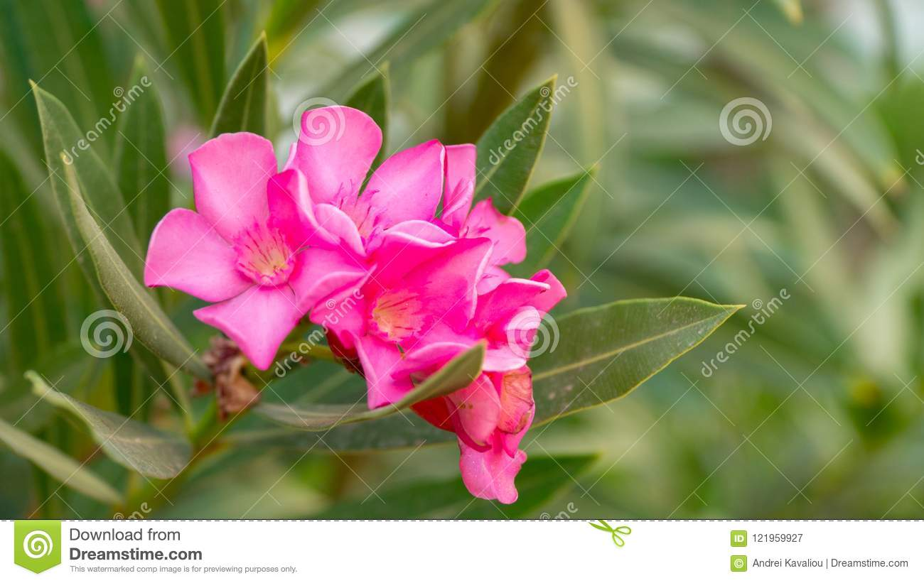 Pink flowers of Red-Leafed Rose