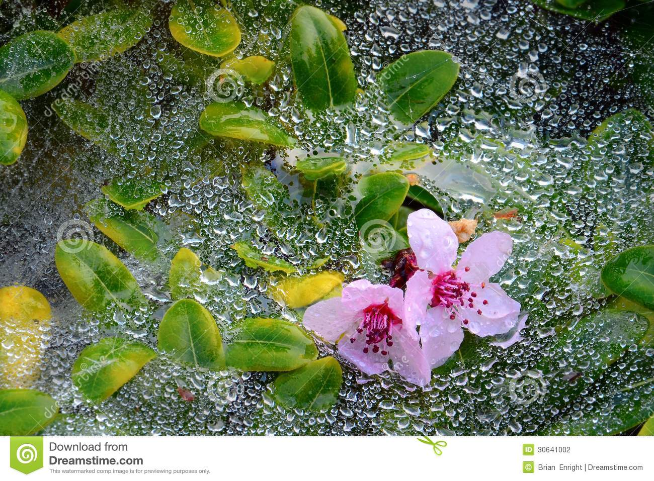 Pink flowers resting on web and green leafs covered in morning dew.