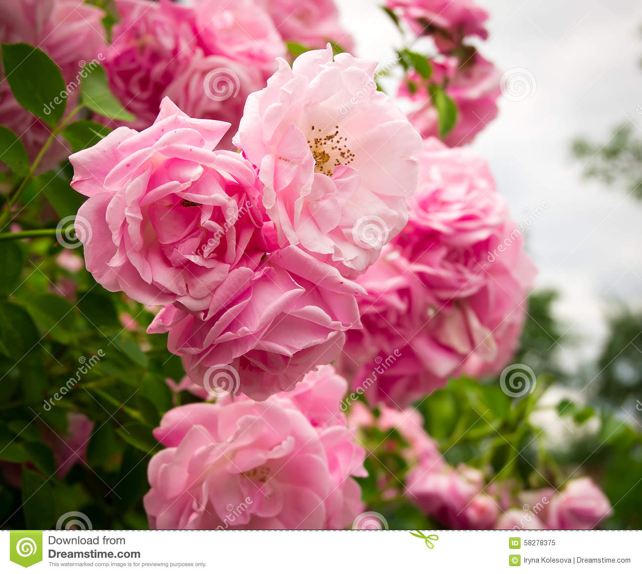 Pink flowers on the rose bush in garden summer time stock image download comp mightylinksfo