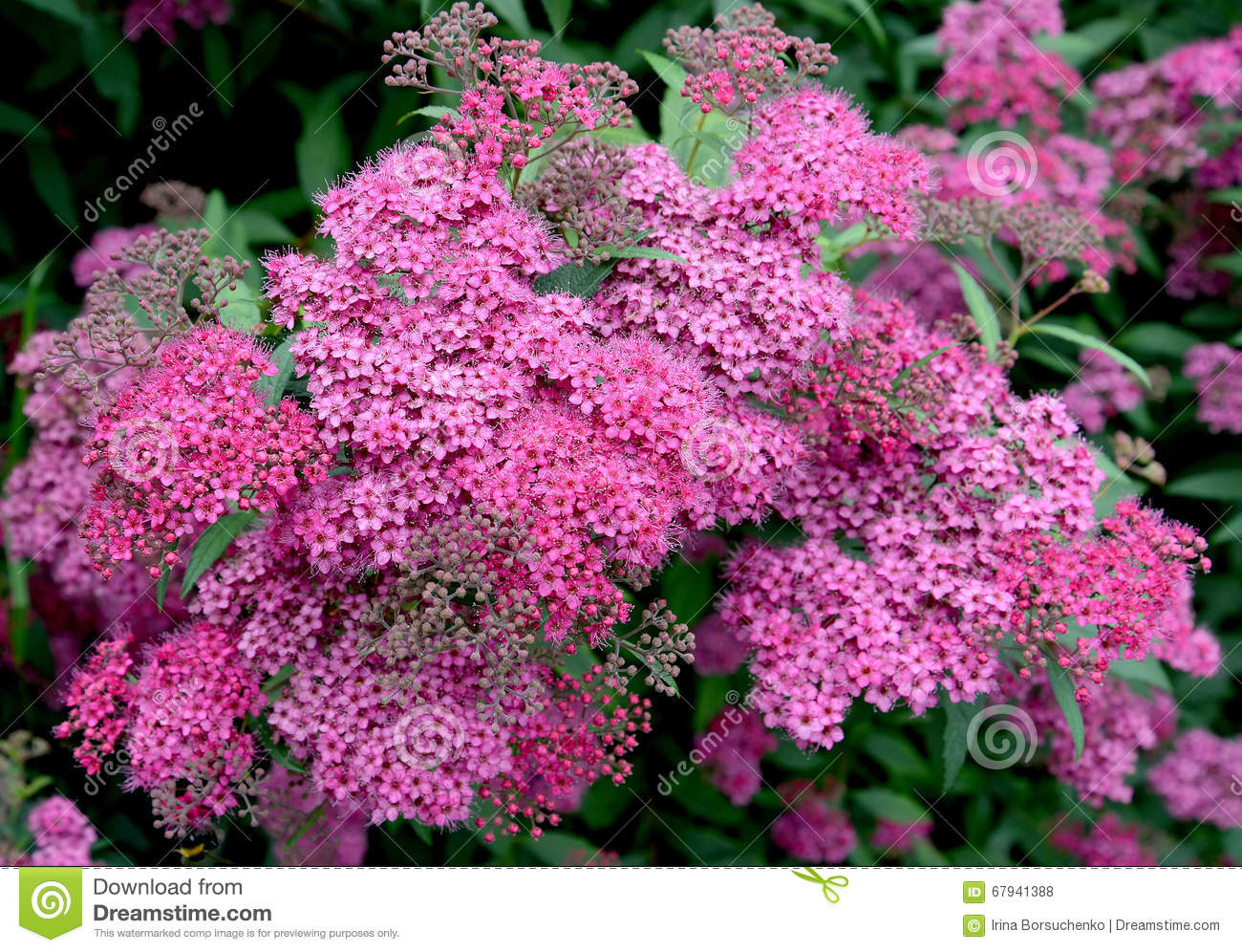 Pink Flowers Of A Spirea Japanese Spiraea Japonica L F Stock