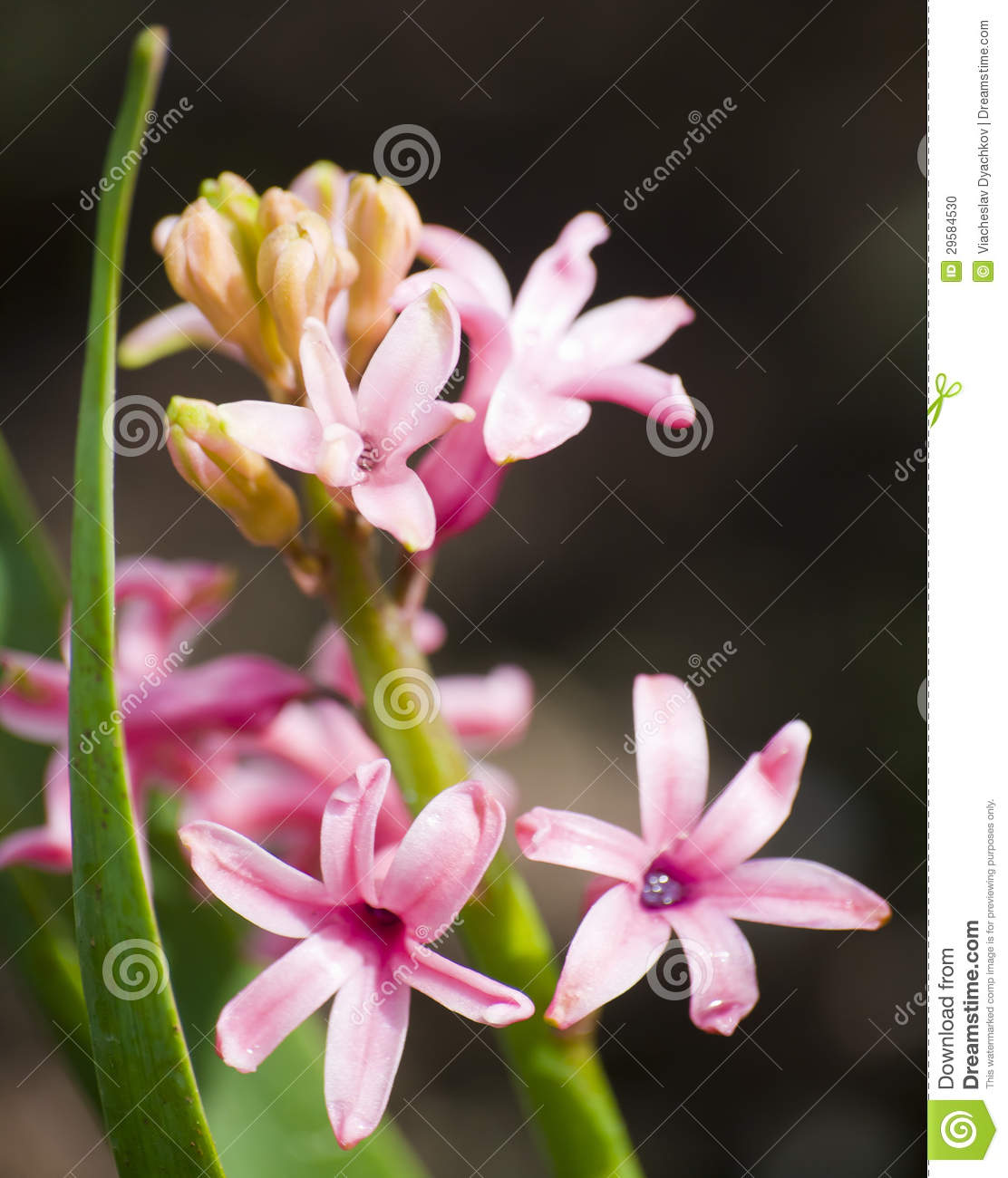 Pink Flowers On The Stem With The Green Thin And Long Leaves On The