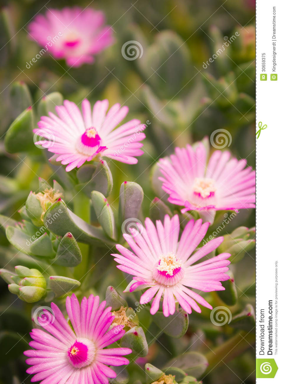 The pink flowers of succulent stock image image of beautiful the pink flowers of succulent mightylinksfo