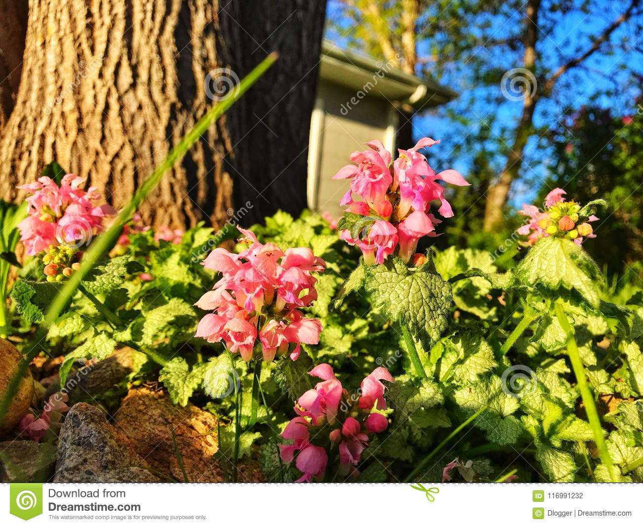 Early morning flowers stock photo image of tree early 116991232 download early morning flowers stock photo image of tree early 116991232 mightylinksfo
