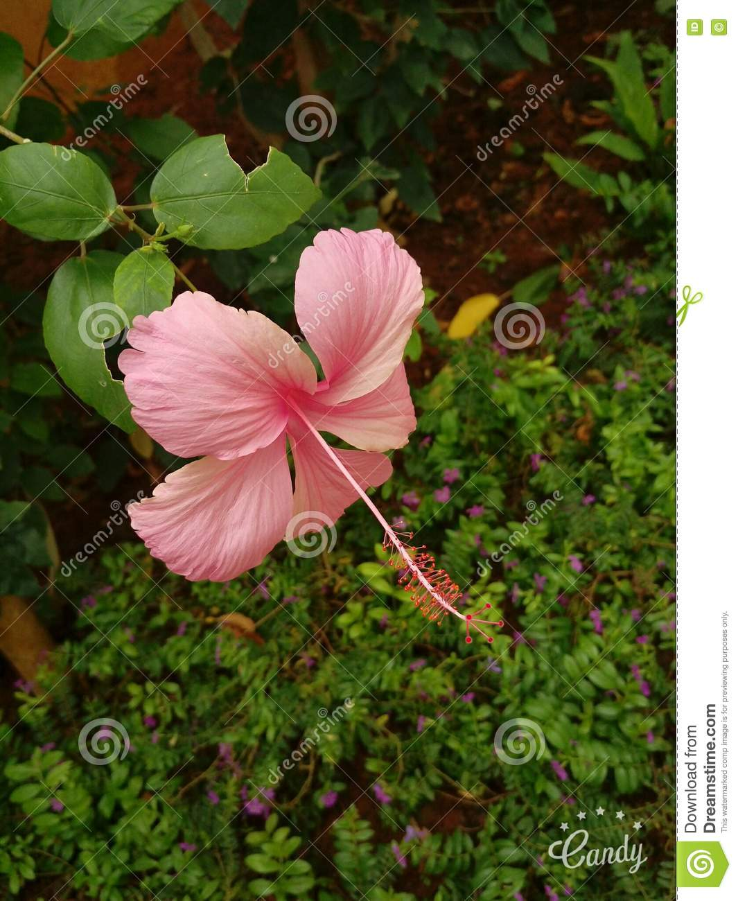 Pink Stock Photo Image Of Soul Nature Pink Humans 77038766