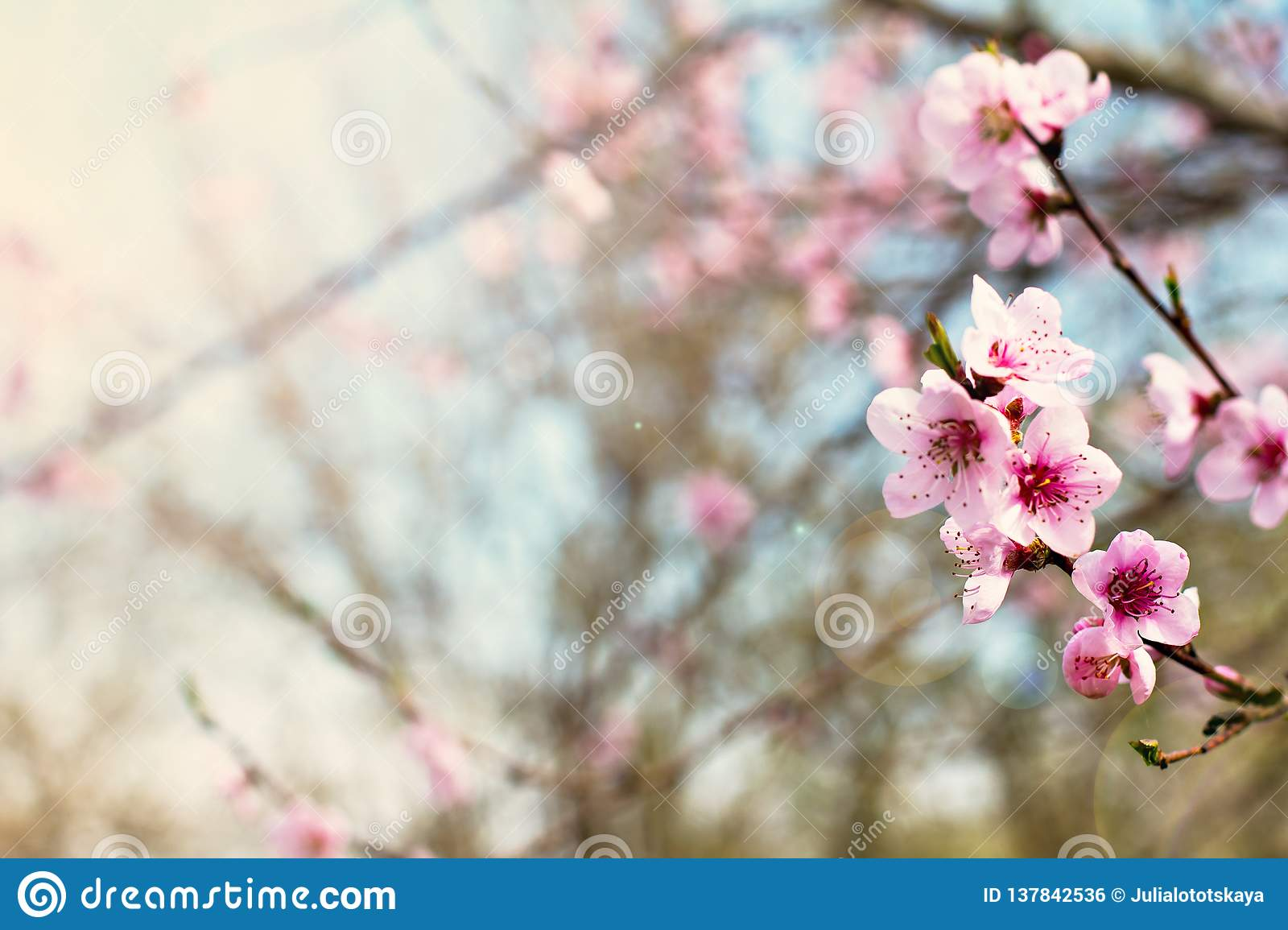 pink flowers on a twig of a flowering tree spring background