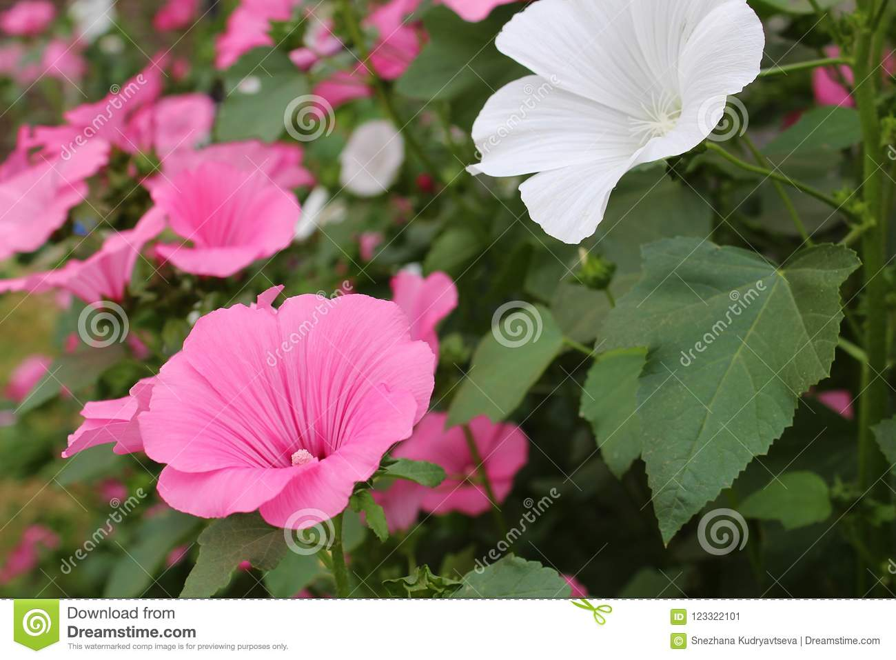 Pink Flowers Under The Name Of The Lavaera Blossomed On The