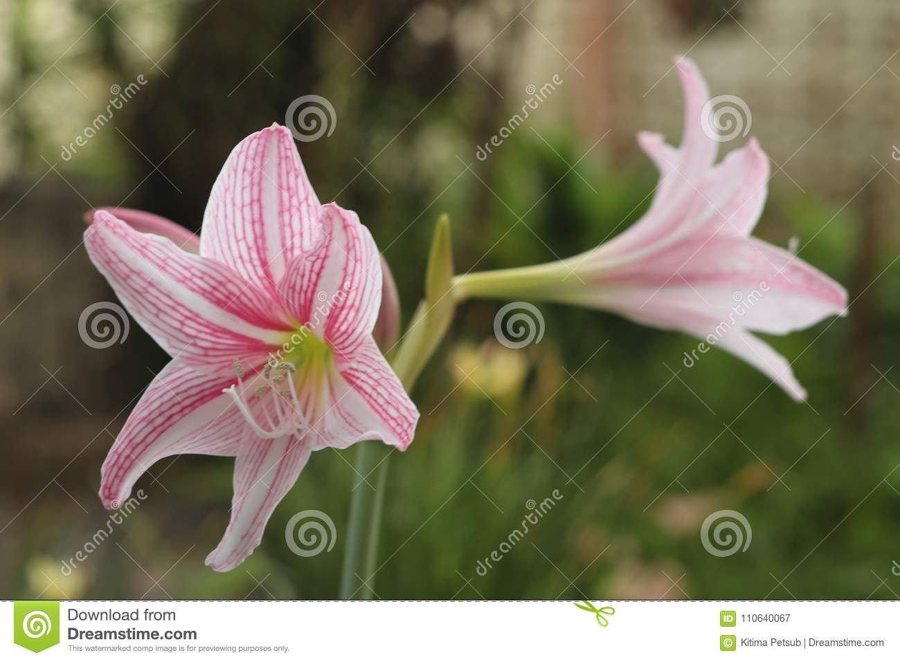 Pink Star Lily Flowers Or Wan See Tit Stock Image Image Of