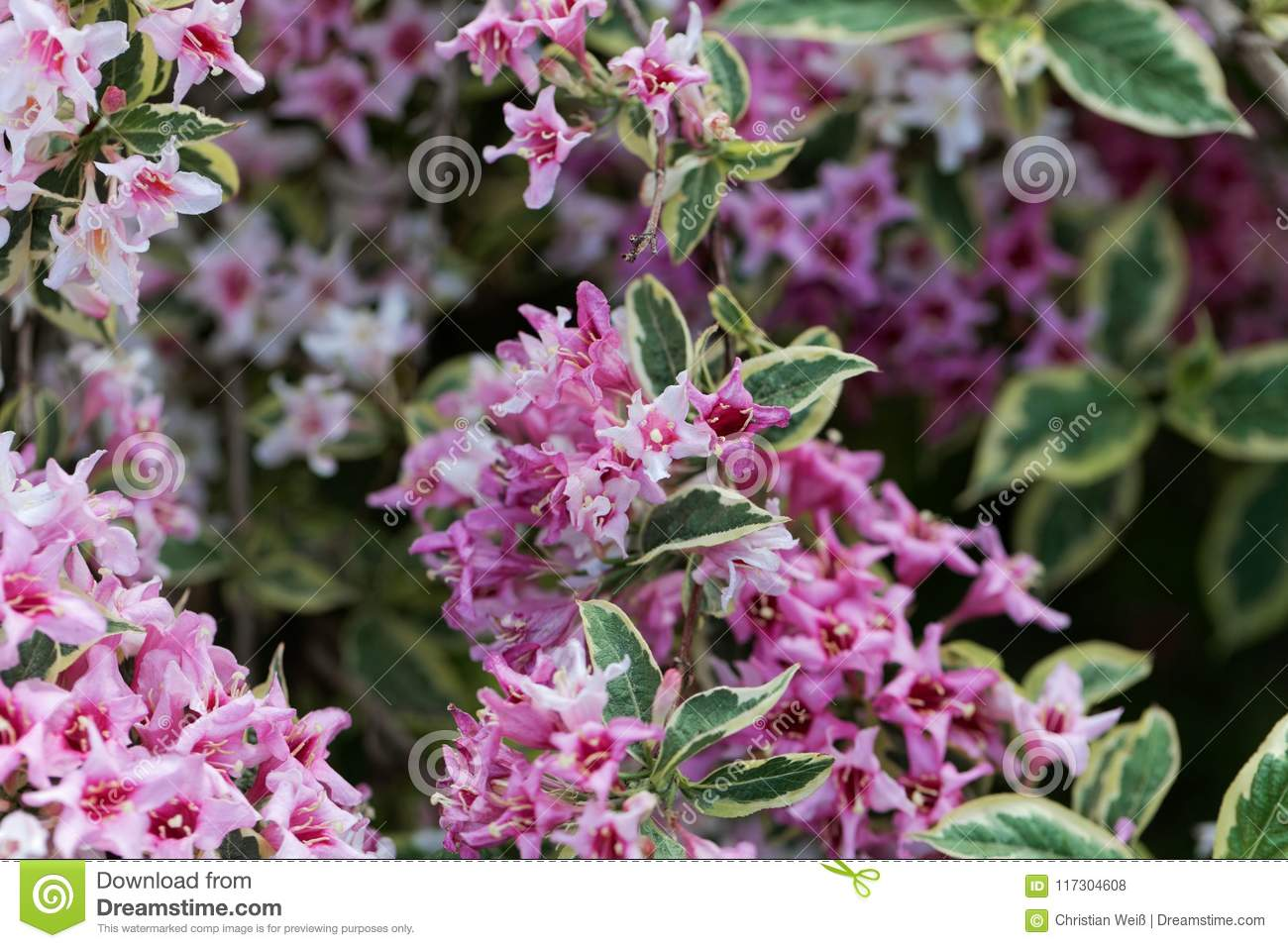 Pink Flowers Of A Weigela Florida Bush Stock Photo Image Of Branch