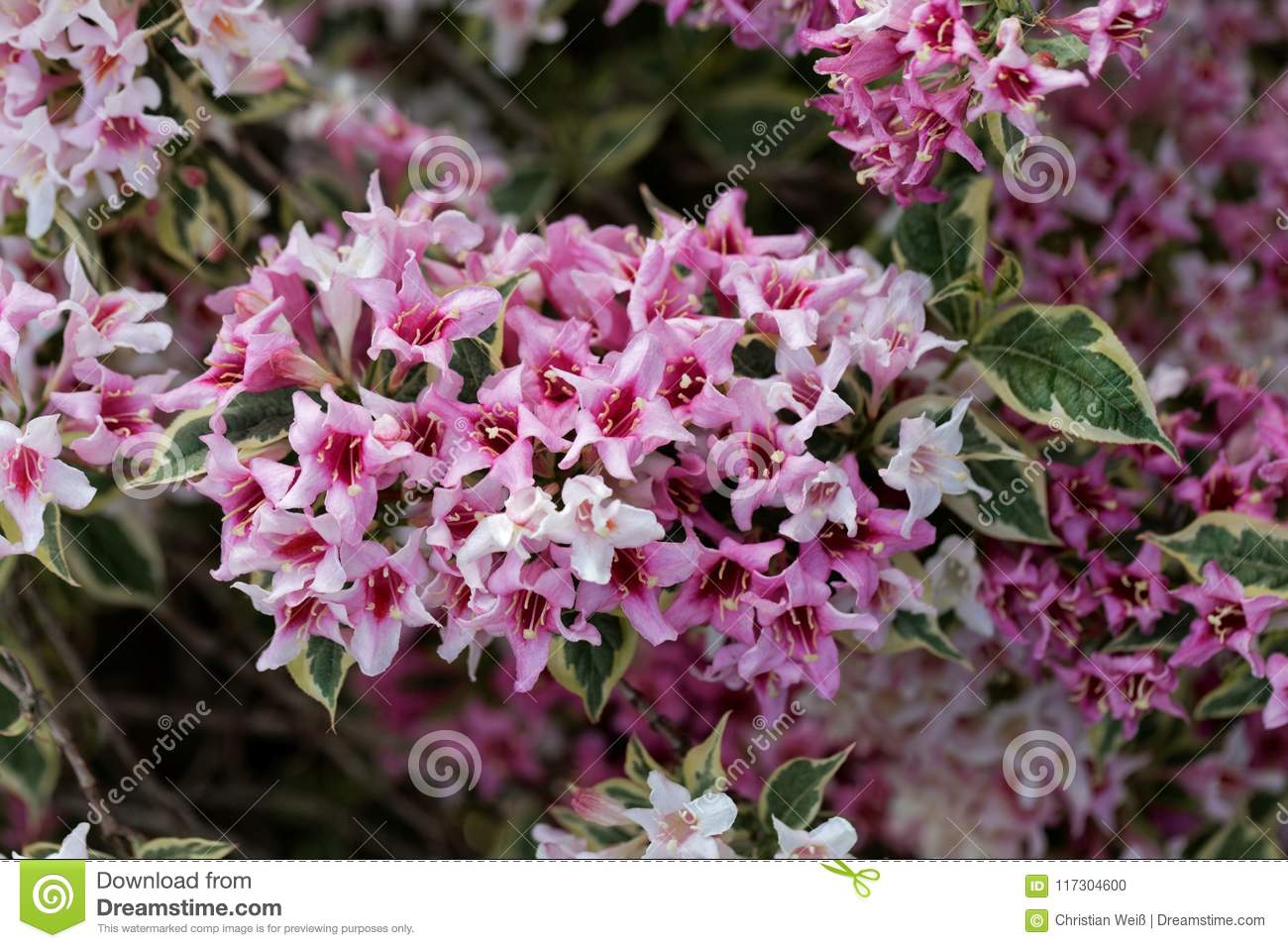 Pink Flowers Of A Weigela Florida Bush Stock Photo Image Of
