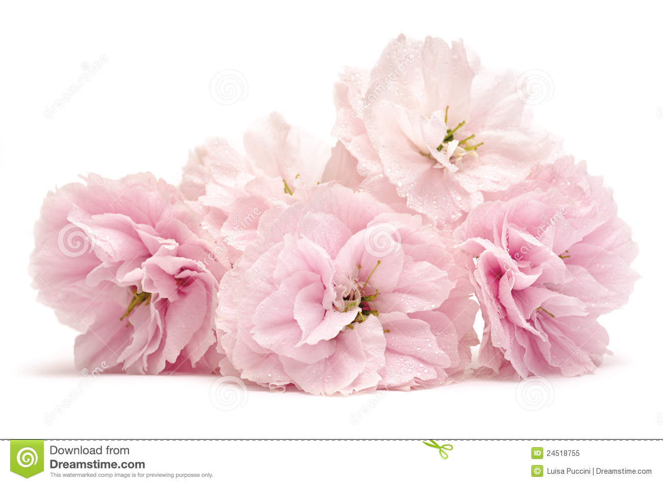 Pink flowers on white stock image image of bouquet white 24518755 download comp mightylinksfo