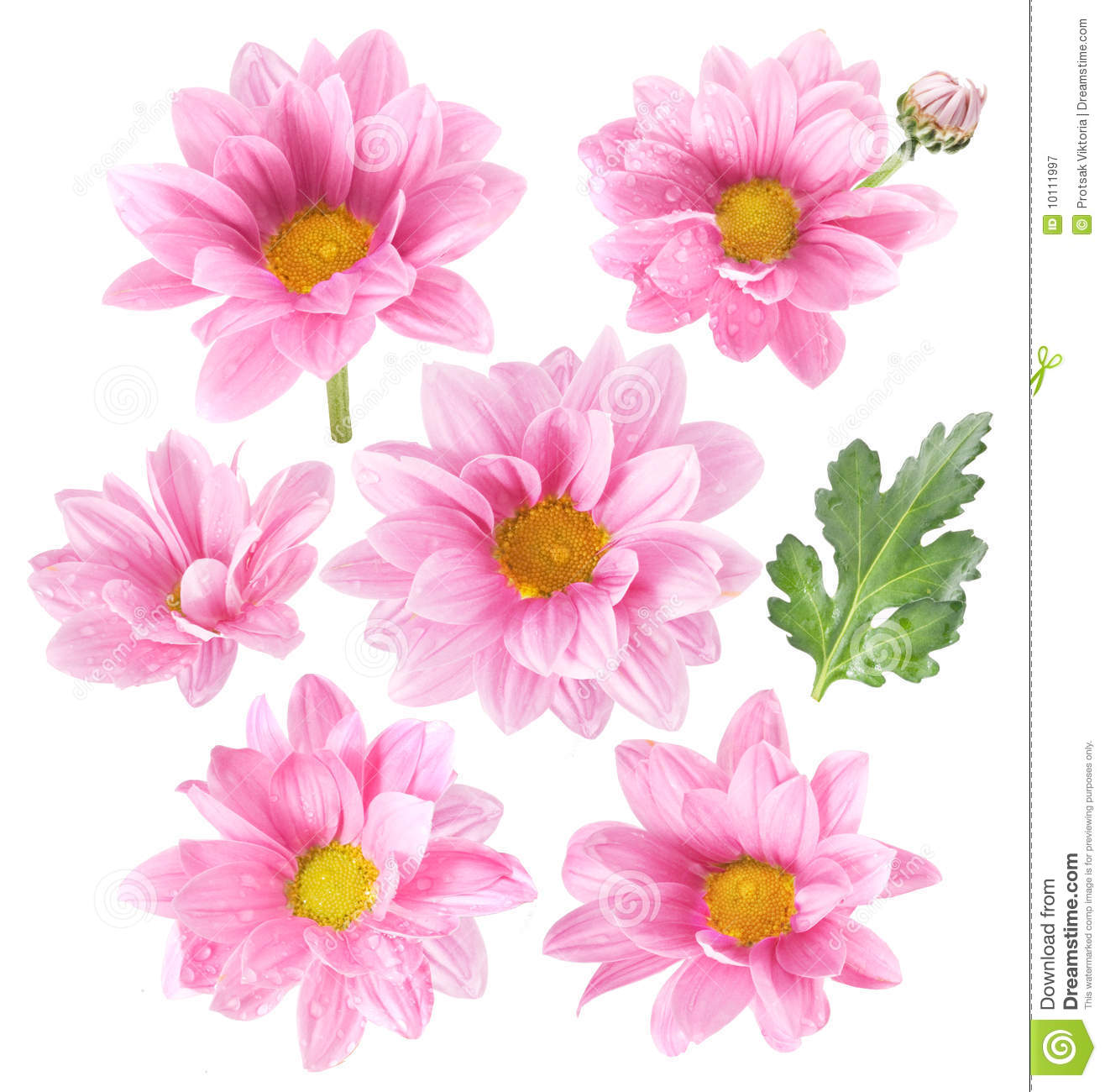 Pink Flowers On White Background Stock Image Image Of Nature