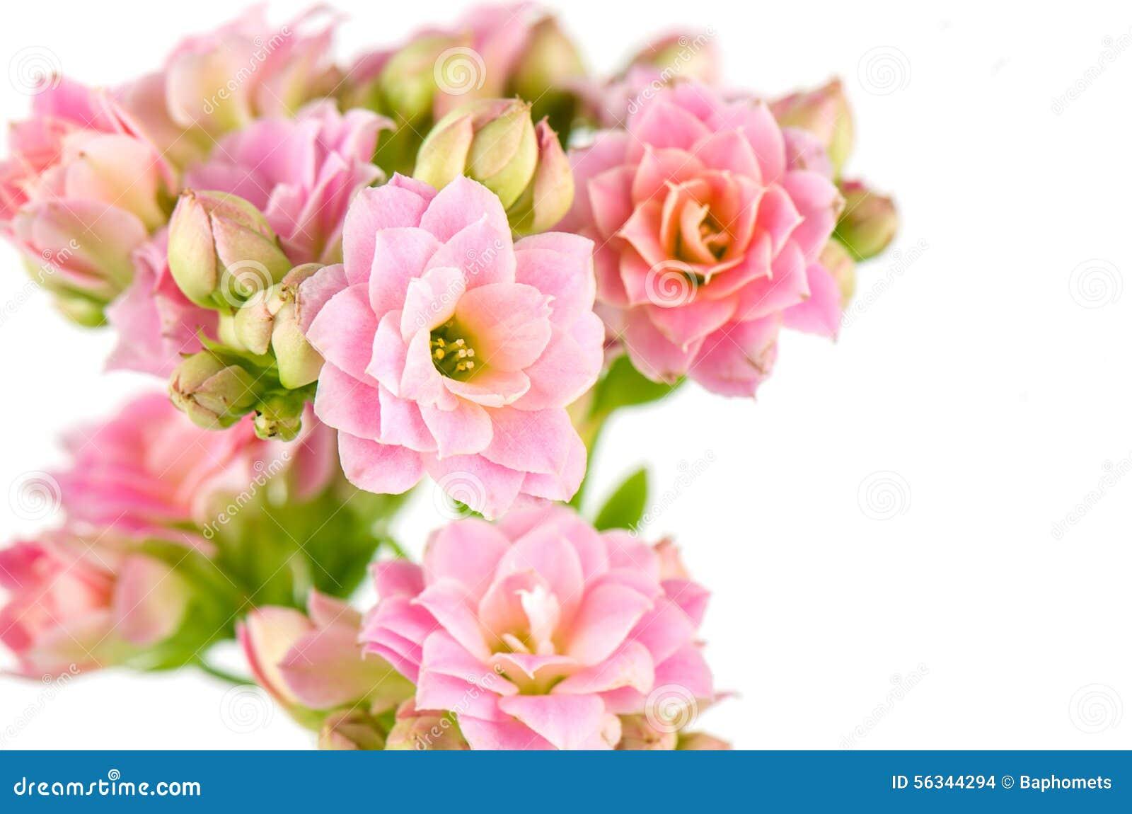 pink flowers on white background kalanchoe blossfeldiana