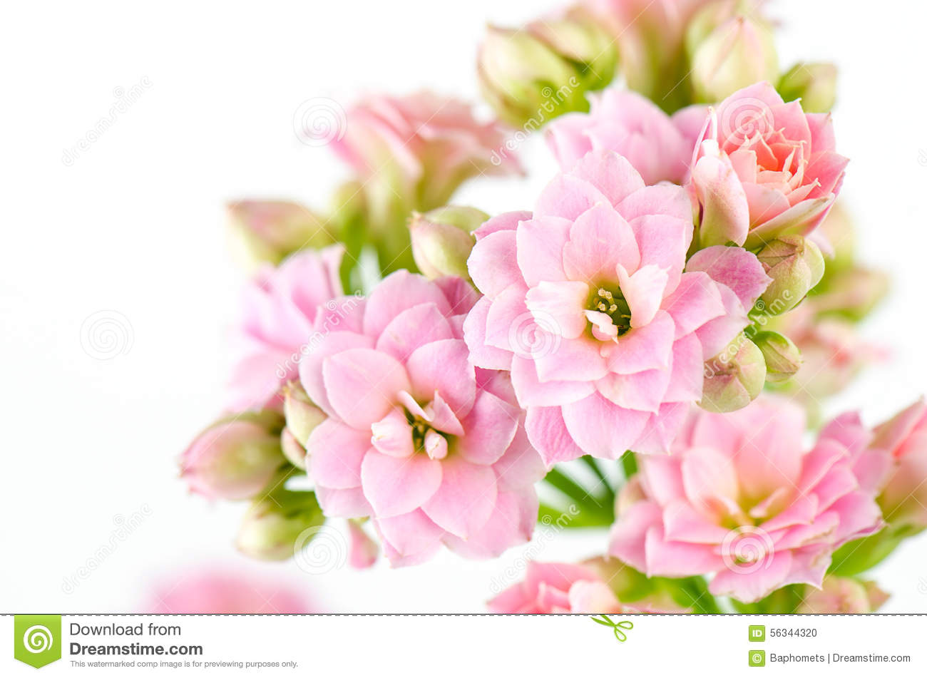 Pink flowers on white background, Kalanchoe blossfeldiana