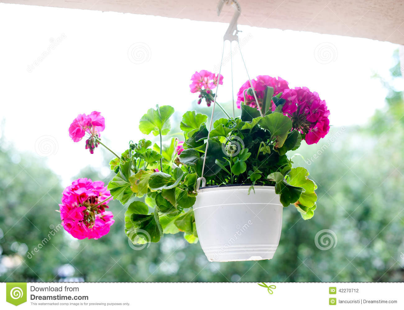 Pink Flowers In White Hanging Flower Pot Stock Photo Image Of