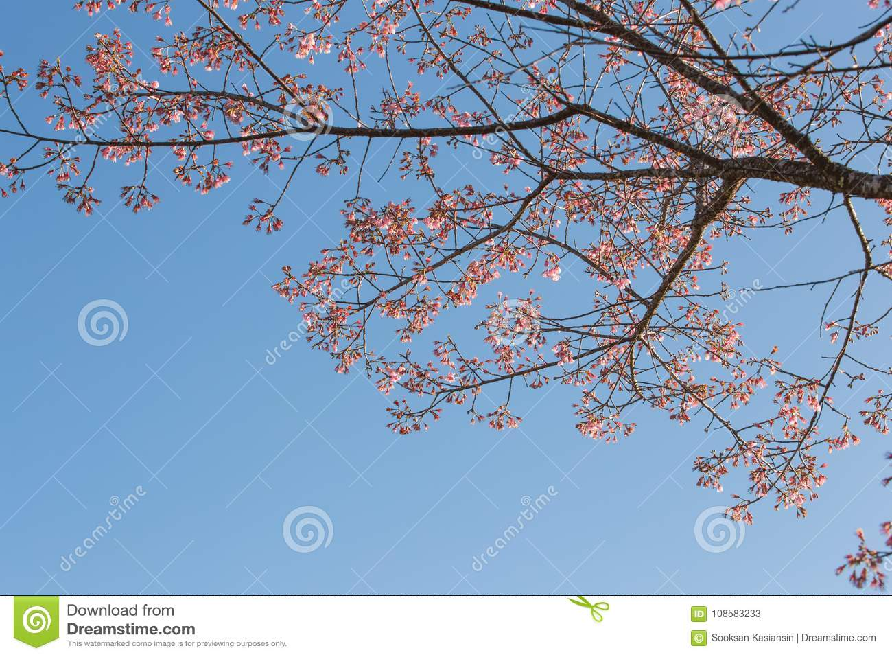 Pink flowers of wild himalayan cherry tree with blue sky stock image download pink flowers of wild himalayan cherry tree with blue sky stock image image of izmirmasajfo