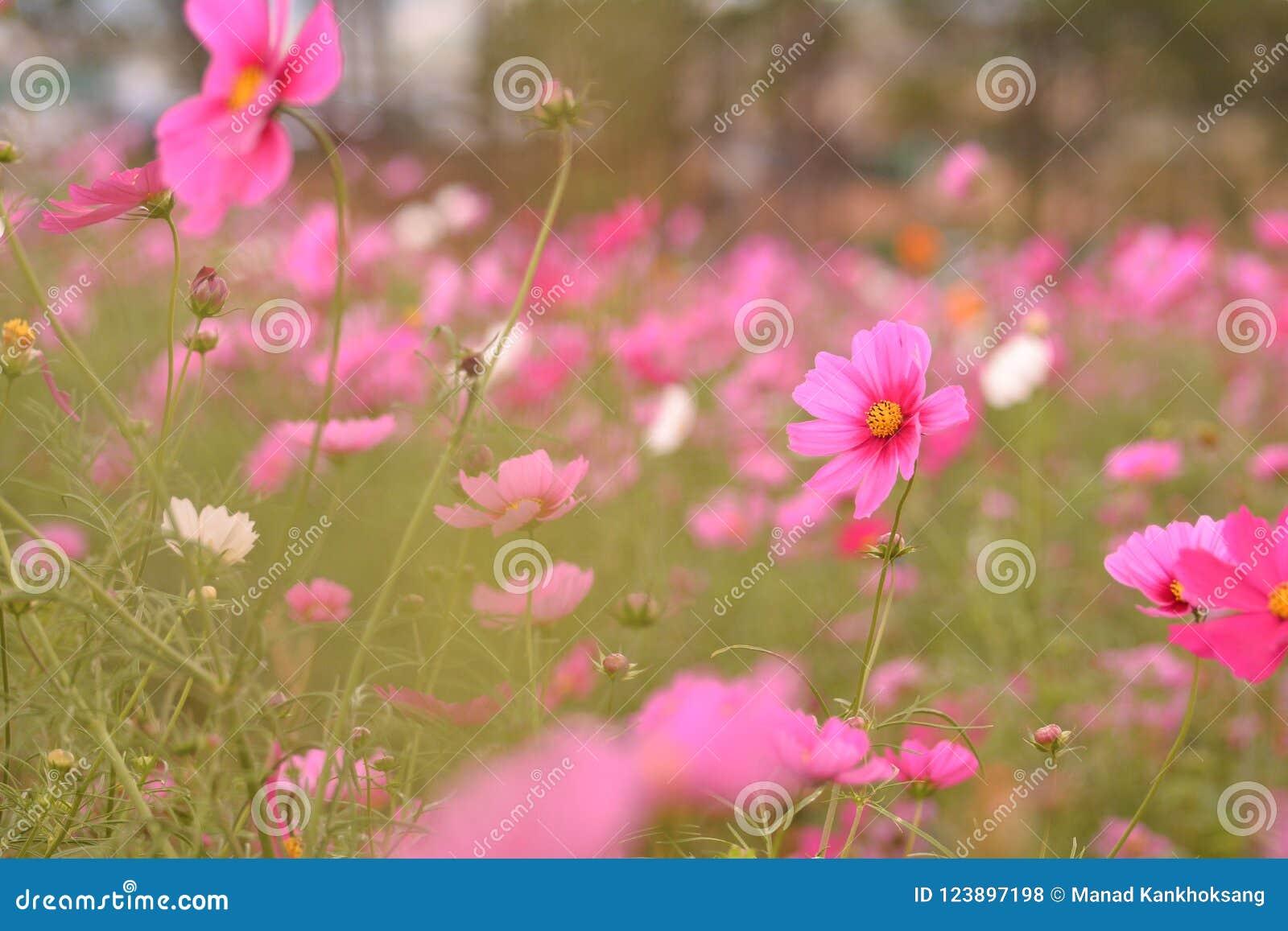 Pink Flowers Orange Yellow Stock Photo Image Of Beautiful 123897198