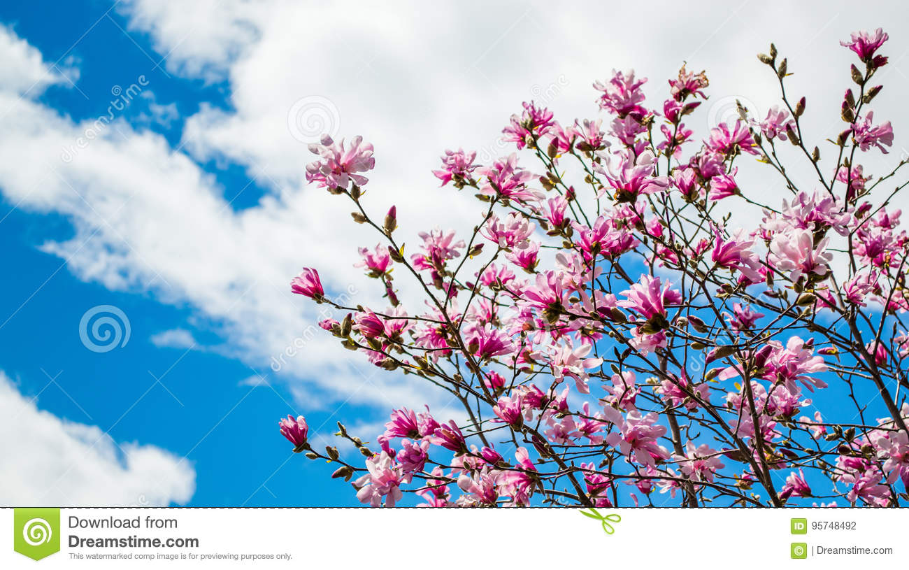 Pink forsythias under a blue sky with puffy clouds stock photo download pink forsythias under a blue sky with puffy clouds stock photo image of bloom mightylinksfo