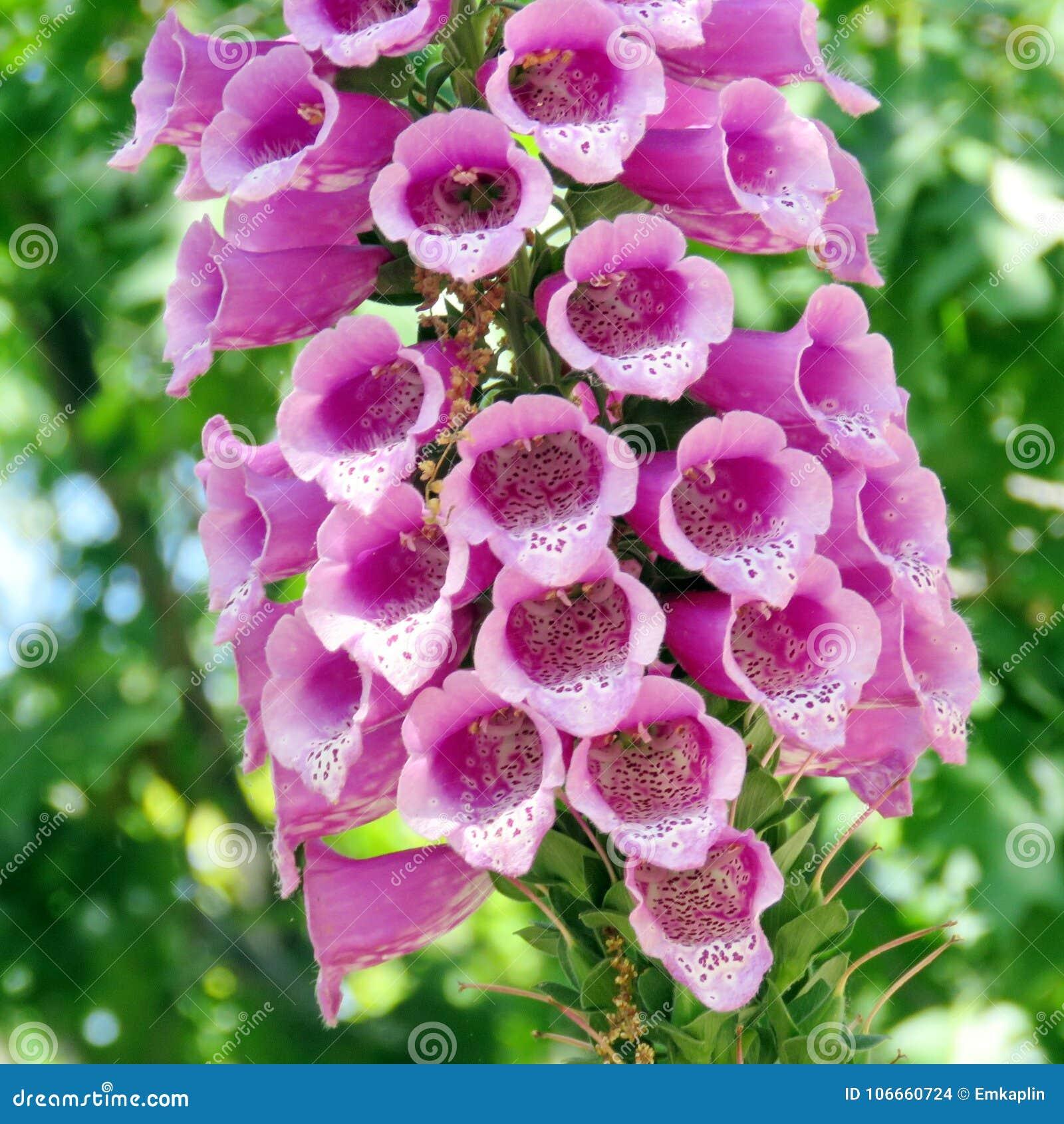 Toronto High Park Pink Foxglove Flower 2016 Stock Photo Image Of