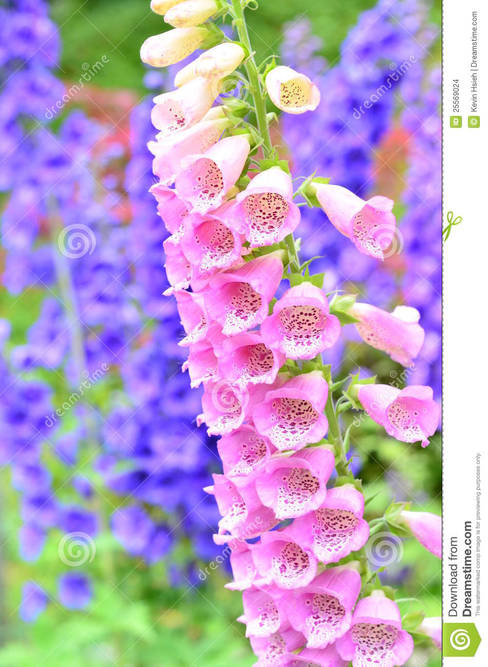 Pink Foxglove Flowers Stock Photo Image Of Landscape 25569024