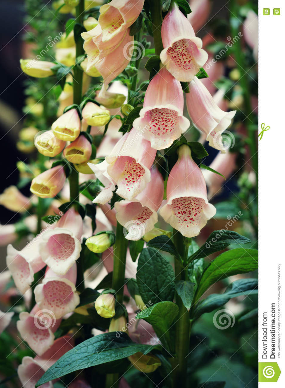 Pink Foxglove Flowers Stock Photo Image Of Pink Spotted 74566922