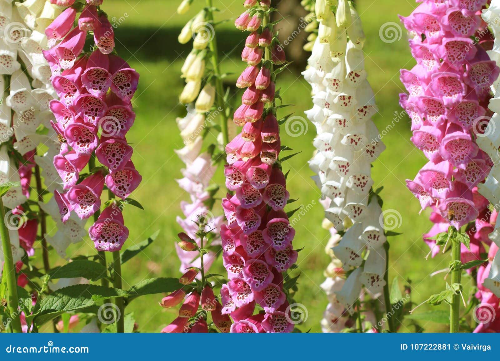 Pink Foxglove Flowers Or Digitalis In A Garden In Summer Stock Image