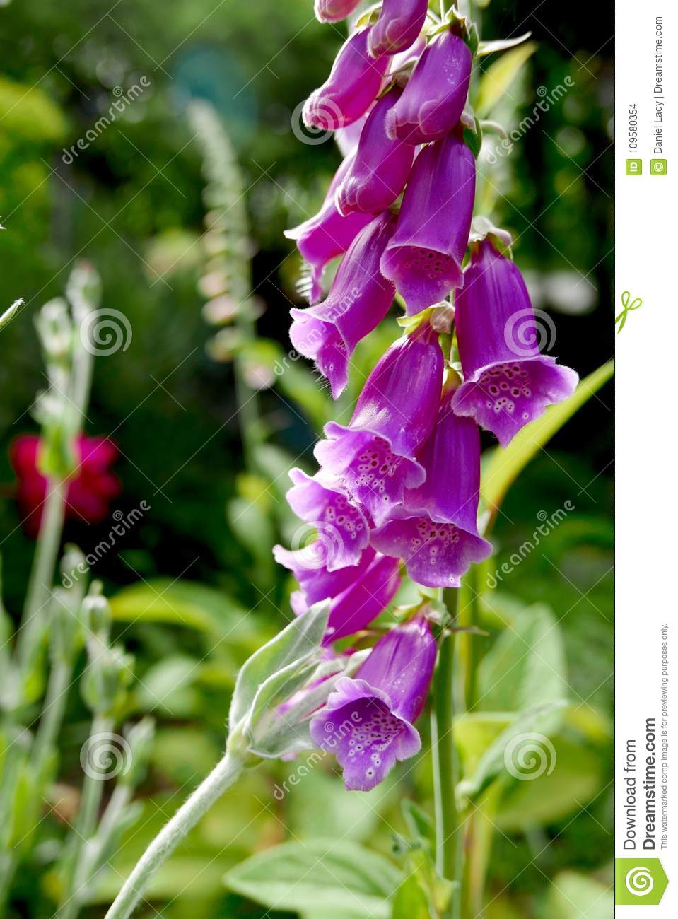 Pink Foxglove Flowers Stand Tall Against The Green Of The Garden