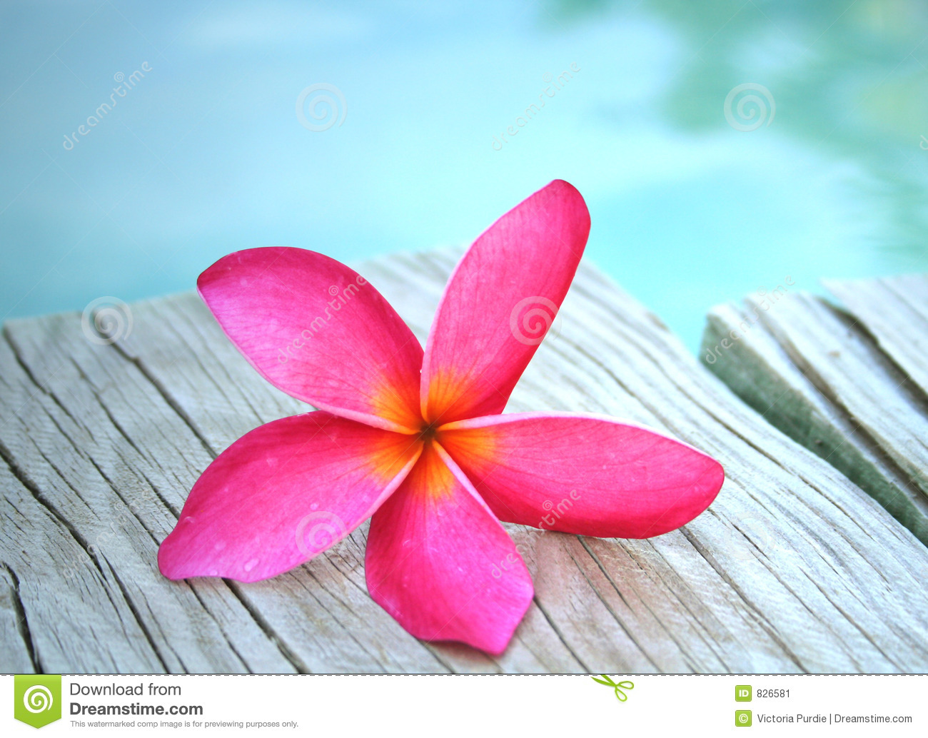Pink Frangipani by Pool