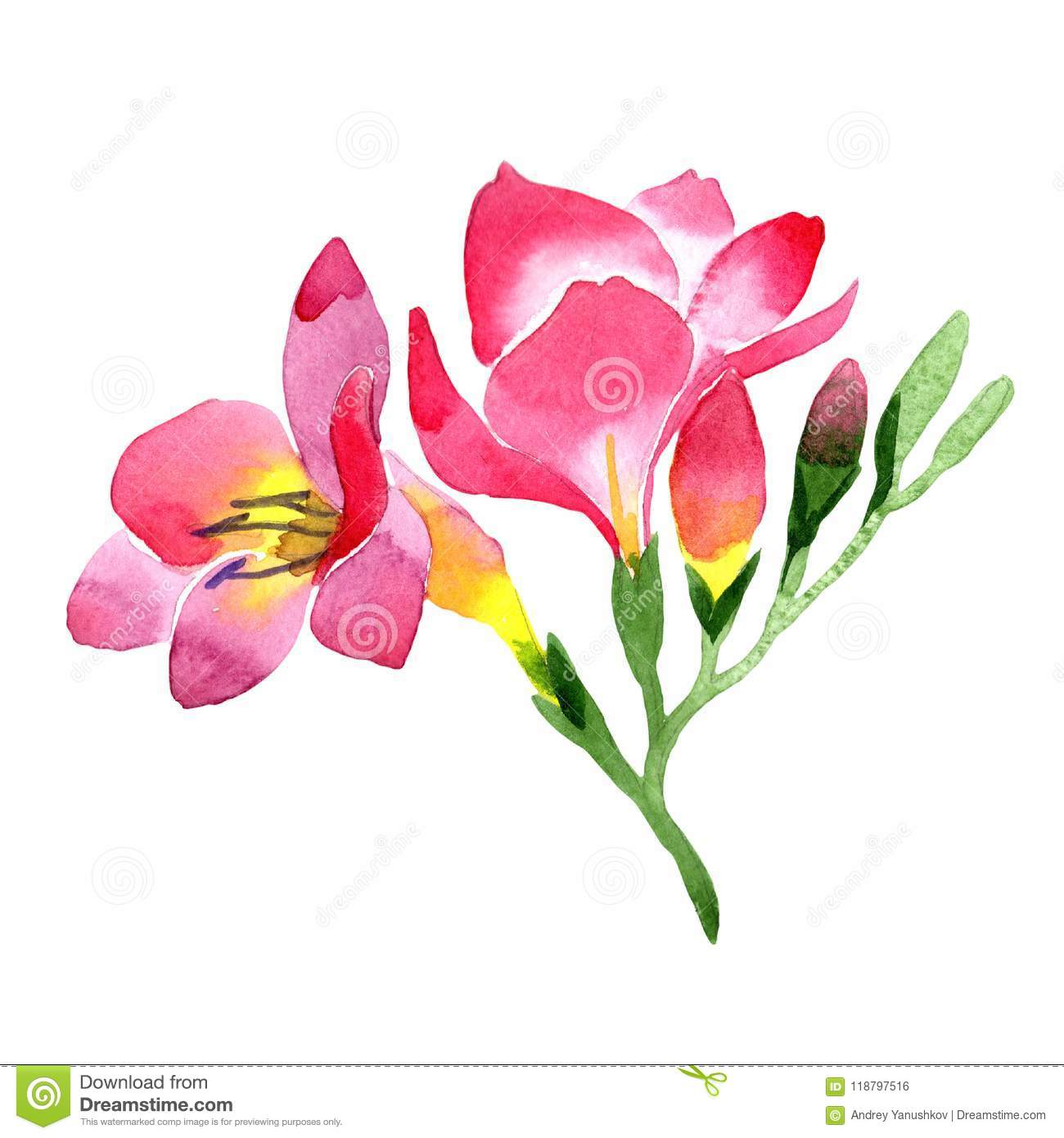 Pink freesia floral botanical flower wild spring leaf wildflower pink freesia floral botanical flower wild spring leaf wildflower isolated mightylinksfo