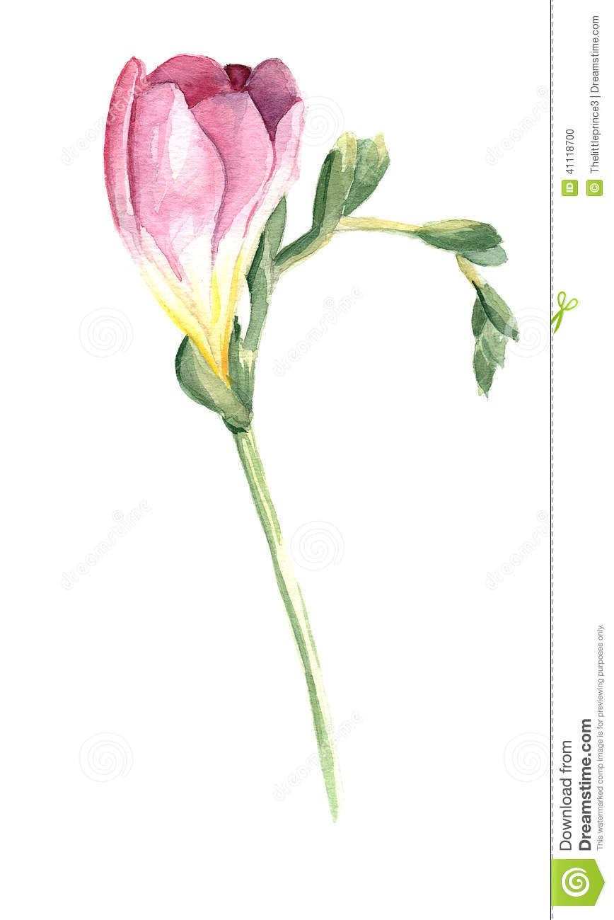 pink freesia flower stock illustration