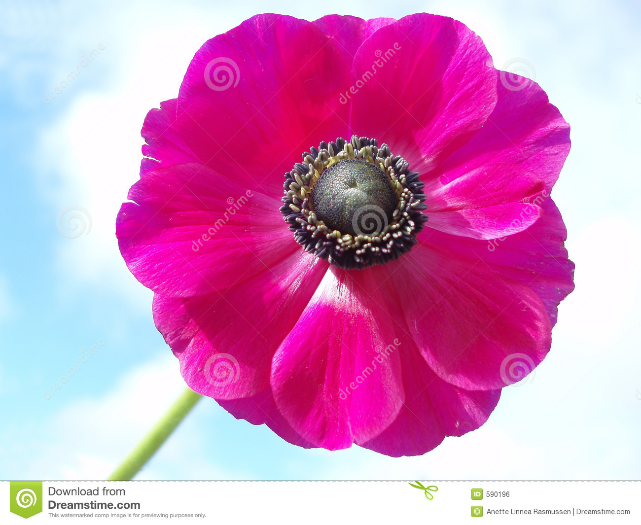 Pink french anemone