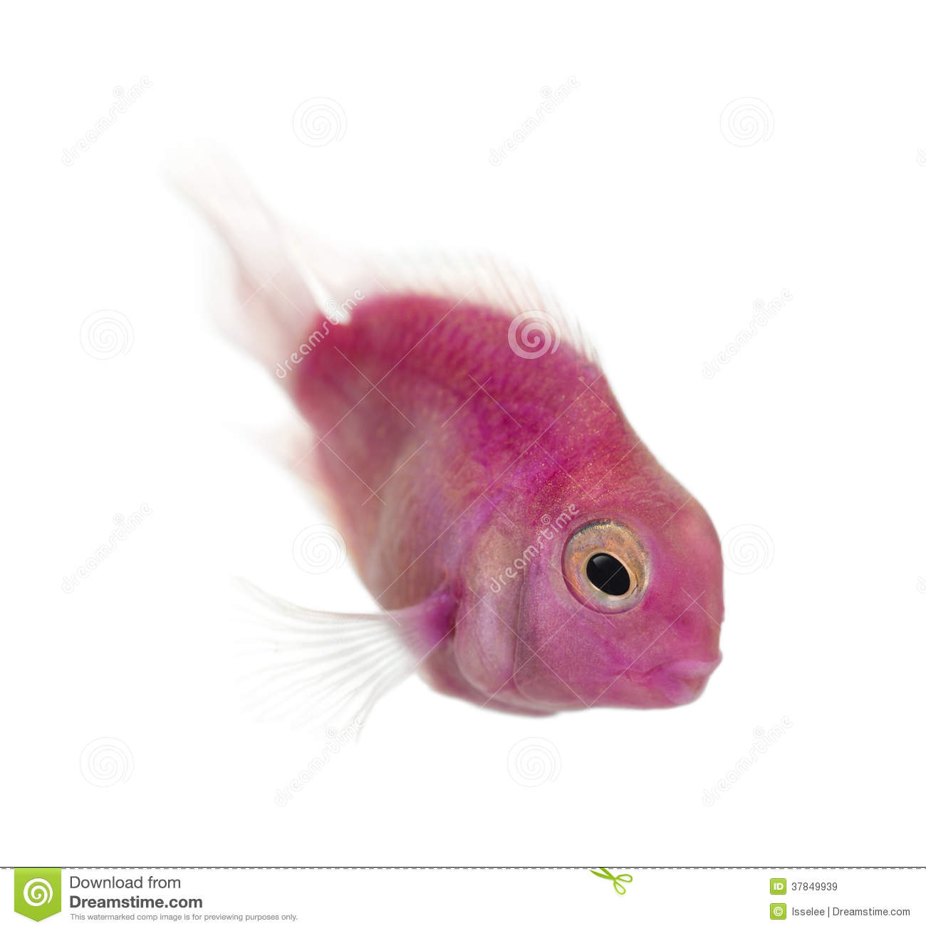 Pink fresh water fish swimming down, isolated