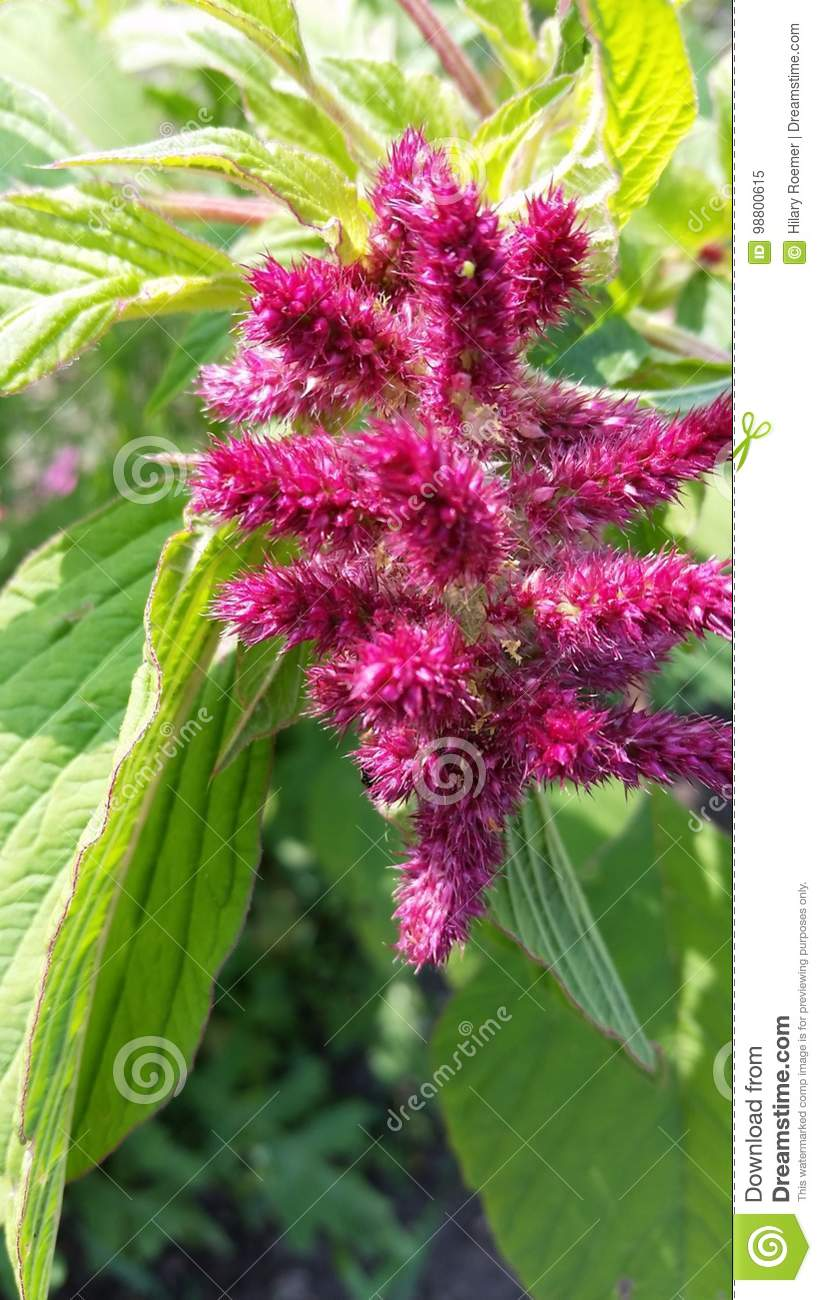 Pink Fuzzy Flower Stock Image Image Of Fuzzy Growing 98800615