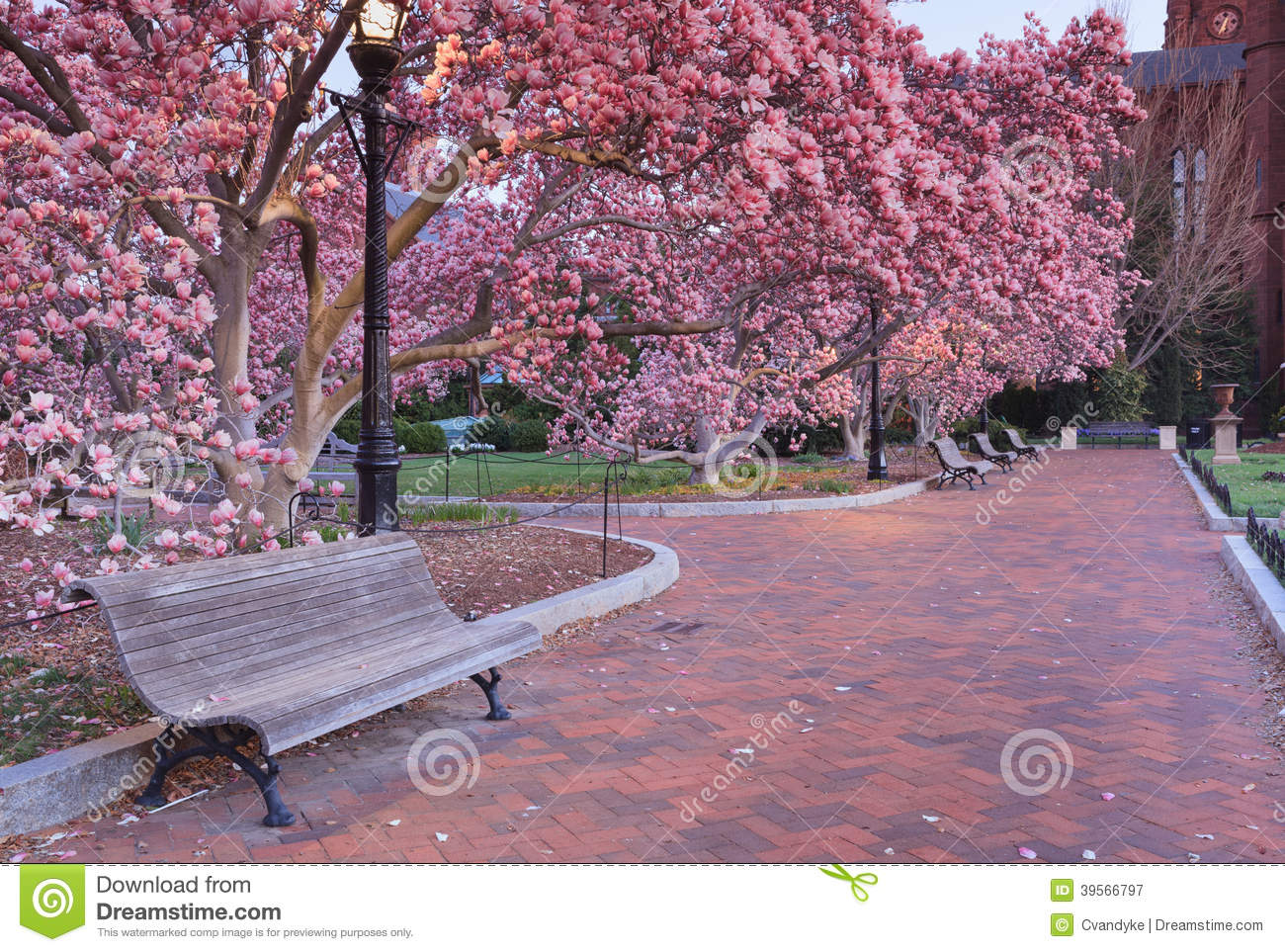 Pink Garden Of Blooming Magnolia Trees Stock Image Image Of