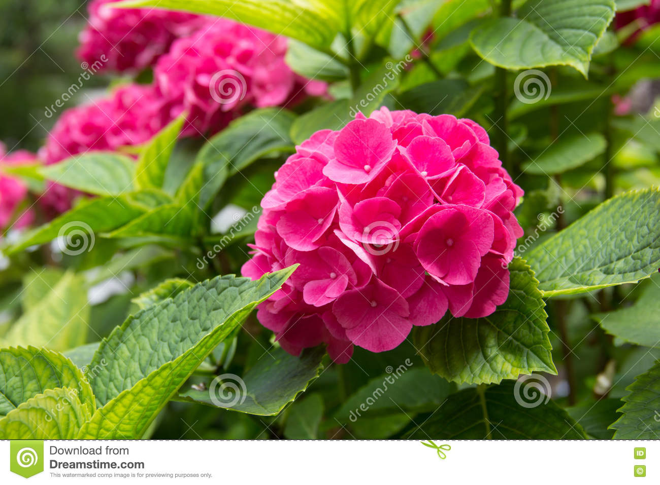pink gardenia stock photo  image, Beautiful flower