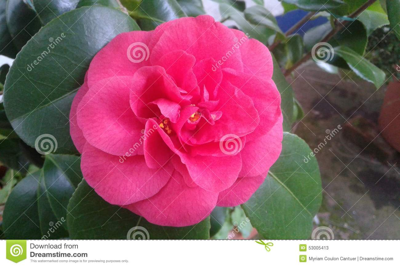 pink gardenia blossom stock photo  image, Beautiful flower