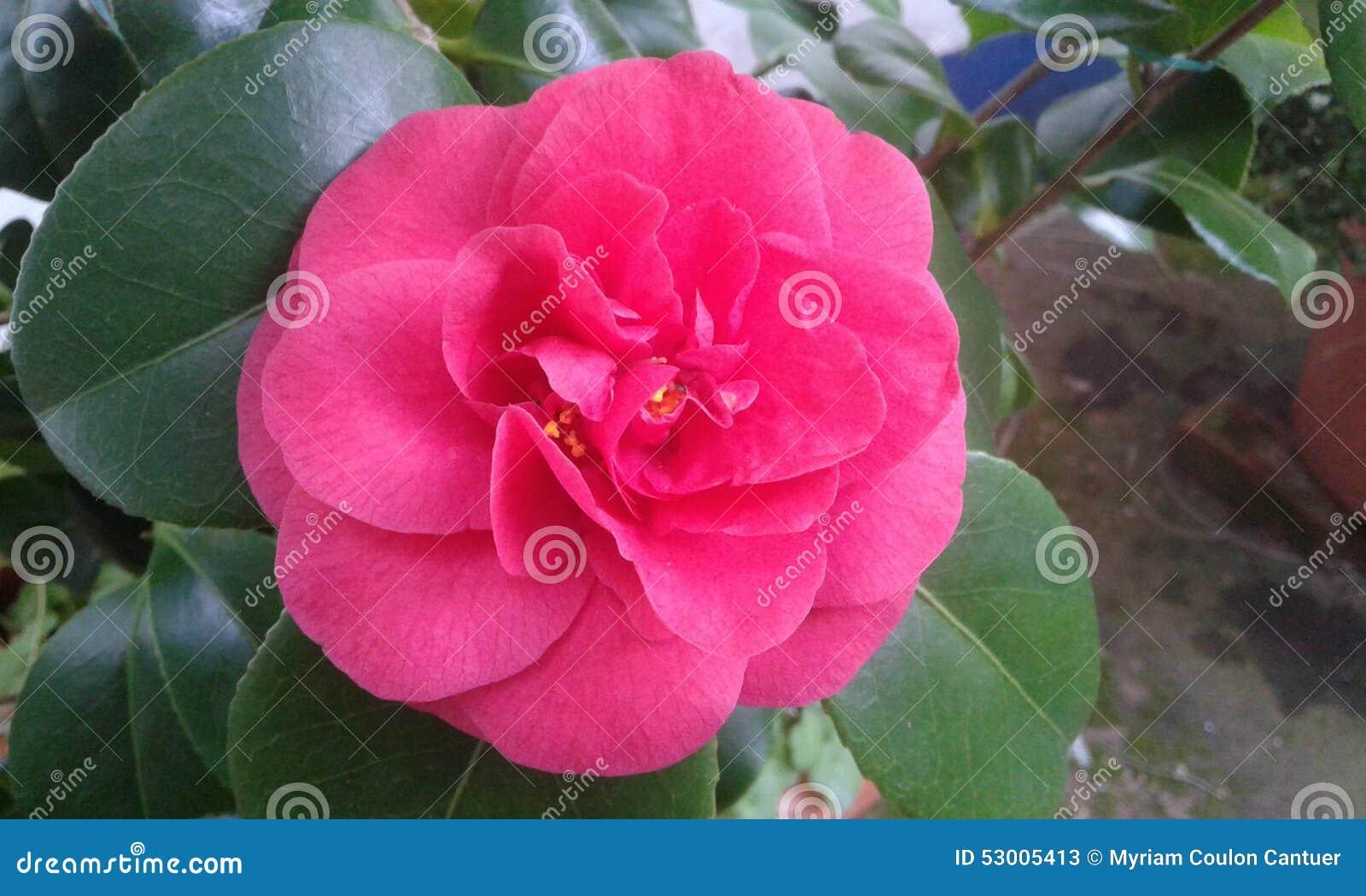 pink gardenia blossom stock photo  image, Beautiful flower