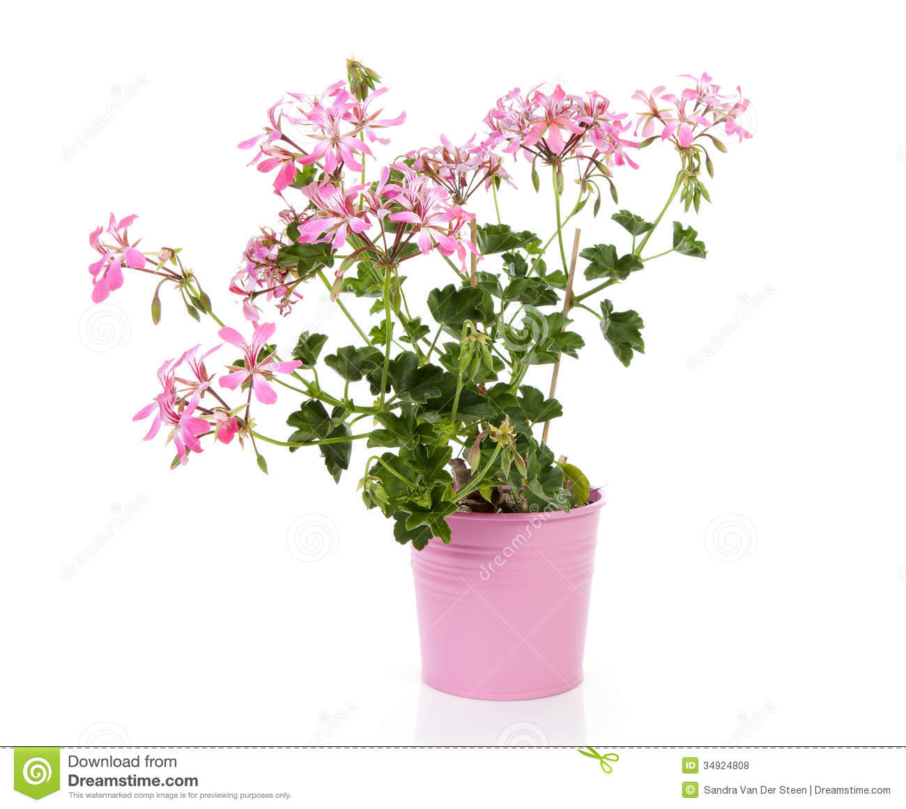Pink geranium flower in pot stock photo image of nature gardening pink geranium flower in pot mightylinksfo