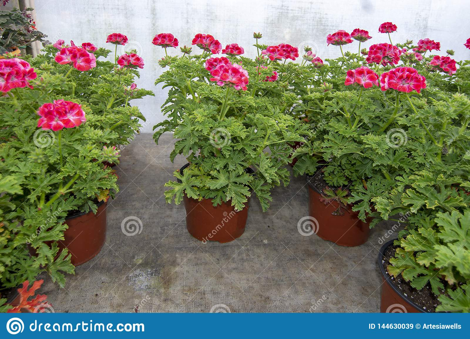 Pink geranium flowers in pots