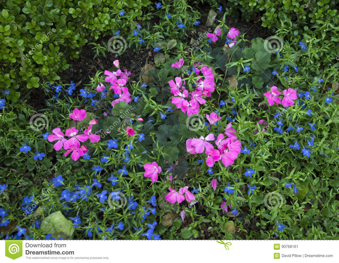 Pink Geraniums And Lobelia Erinus Techno Blue Stock Image Image Of