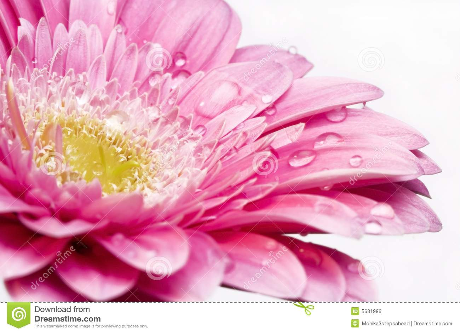 Pink Gerber Daisy Clip Art Pink gerber daisy with