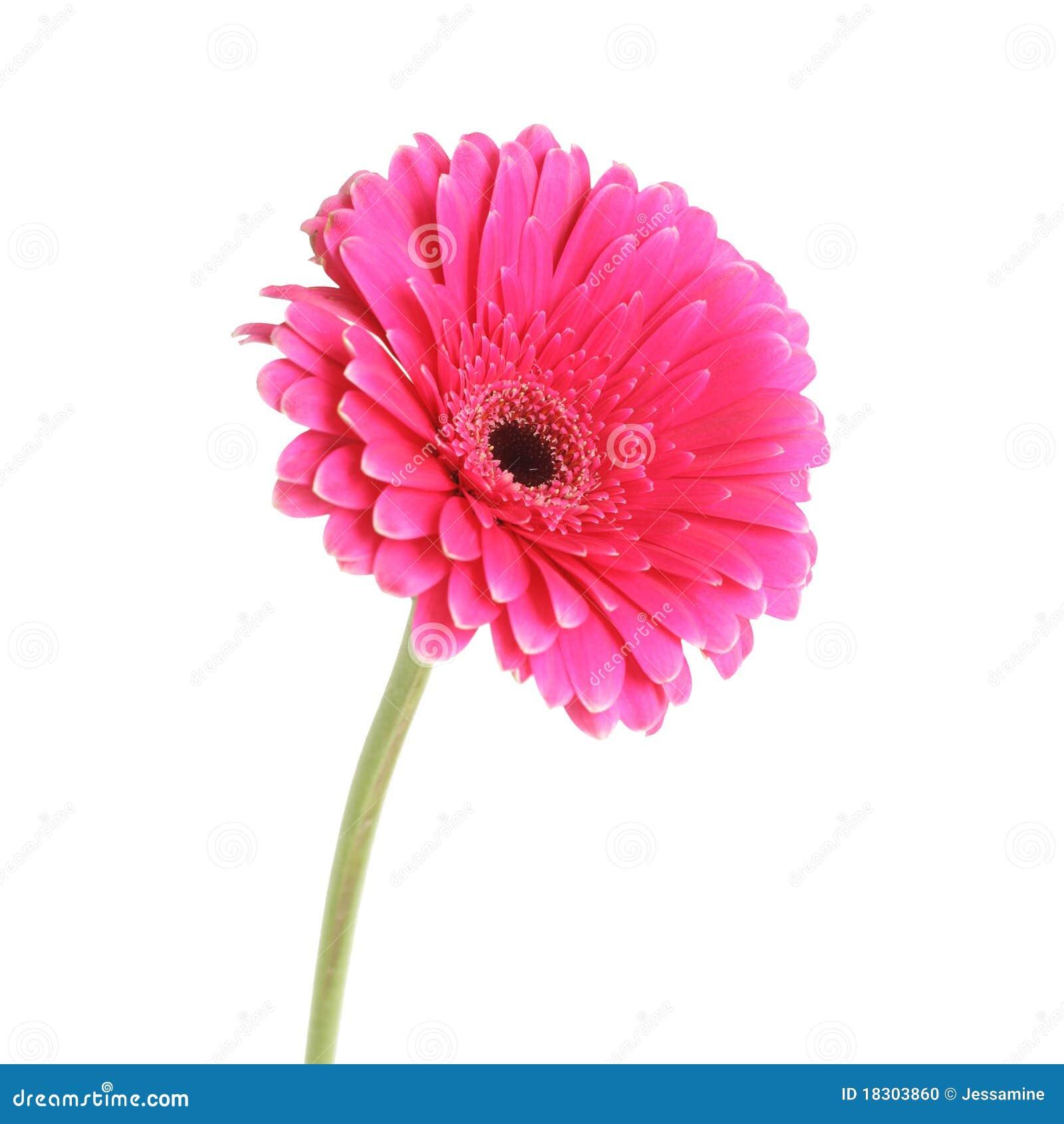 pink gerbera stock photo image 18303860. Black Bedroom Furniture Sets. Home Design Ideas