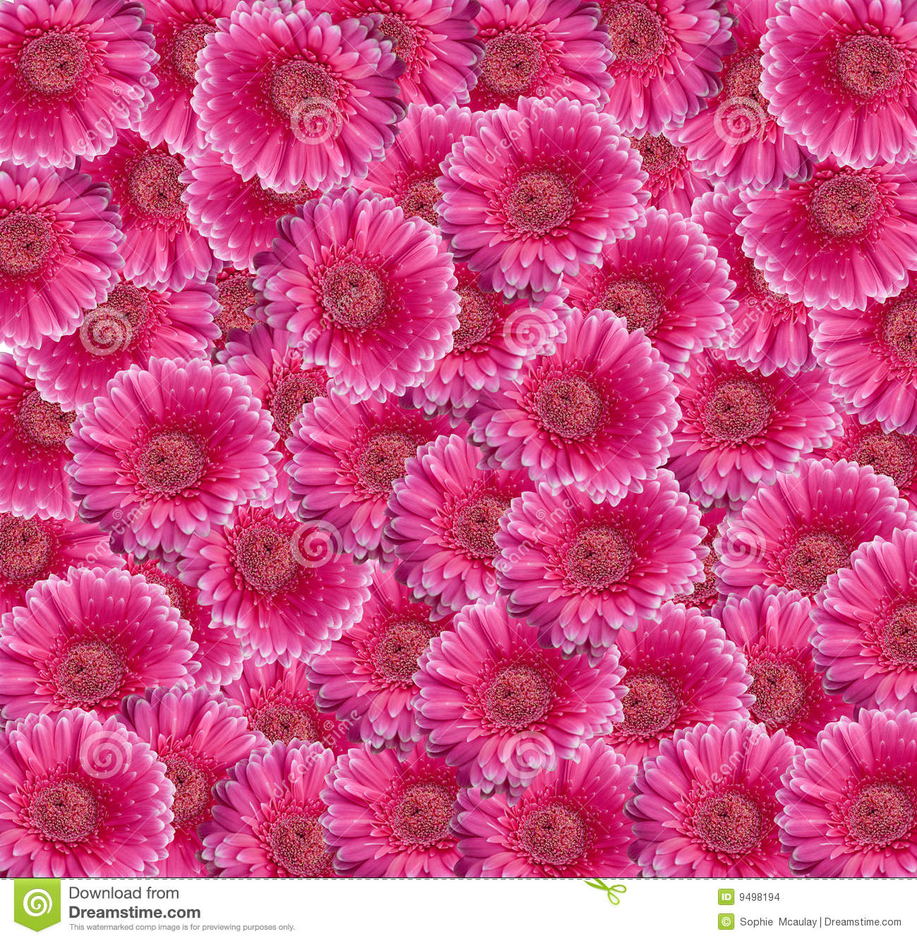 pink gerbera daisy collage stock photo  image of flower