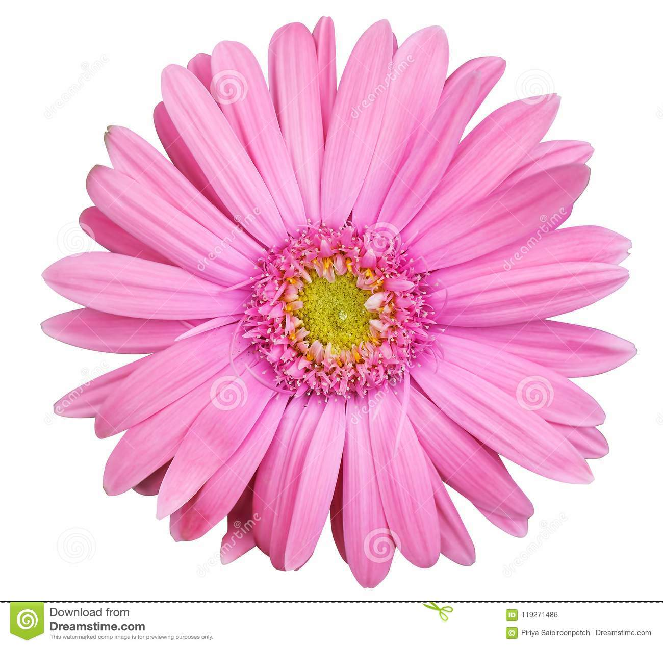 Pink Gerbera Daisy Flower Isolated On White Background Stock Photo