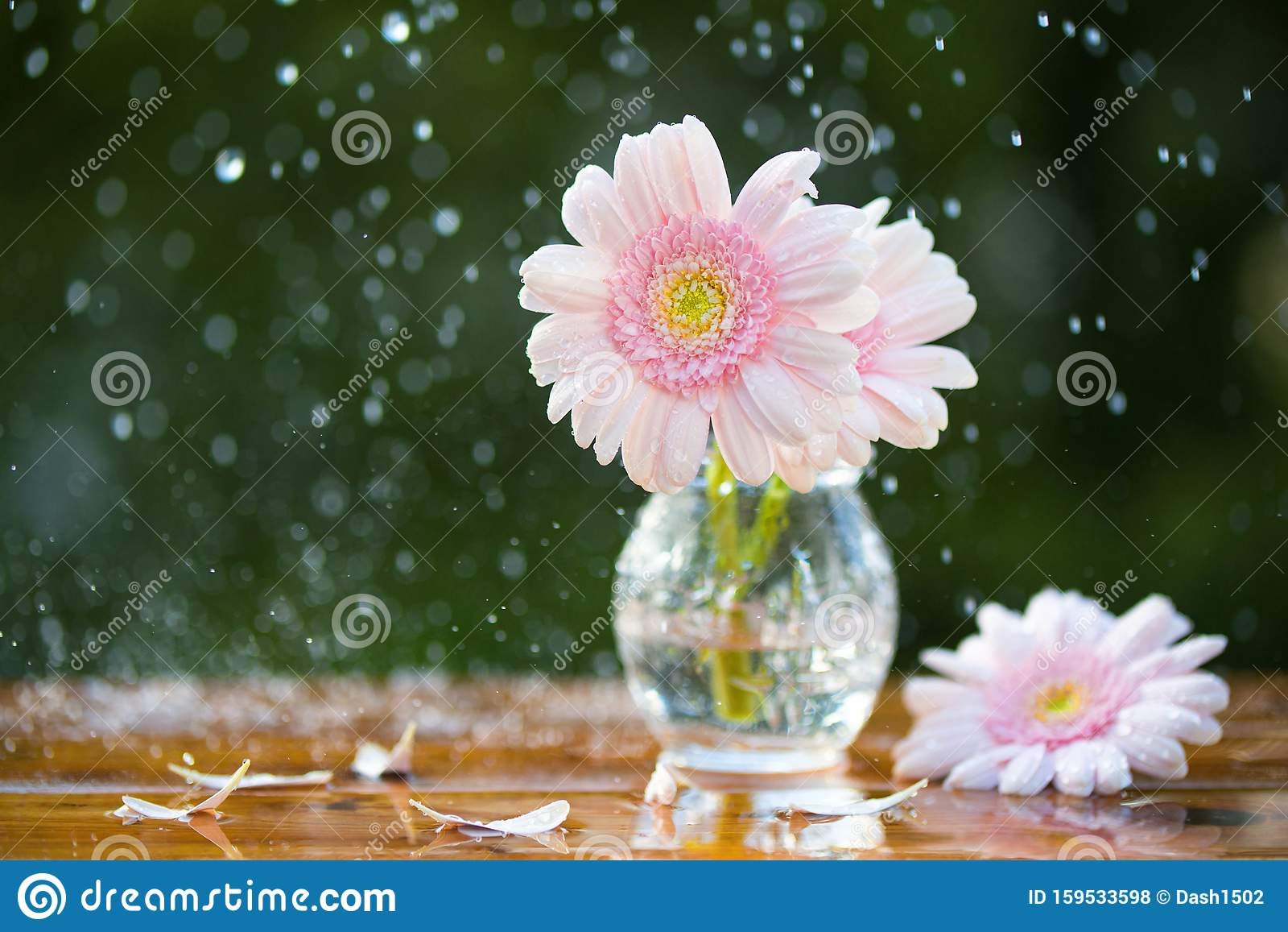 Pink Gerbera Daisy Flowers In Vase Under The Rain On ...