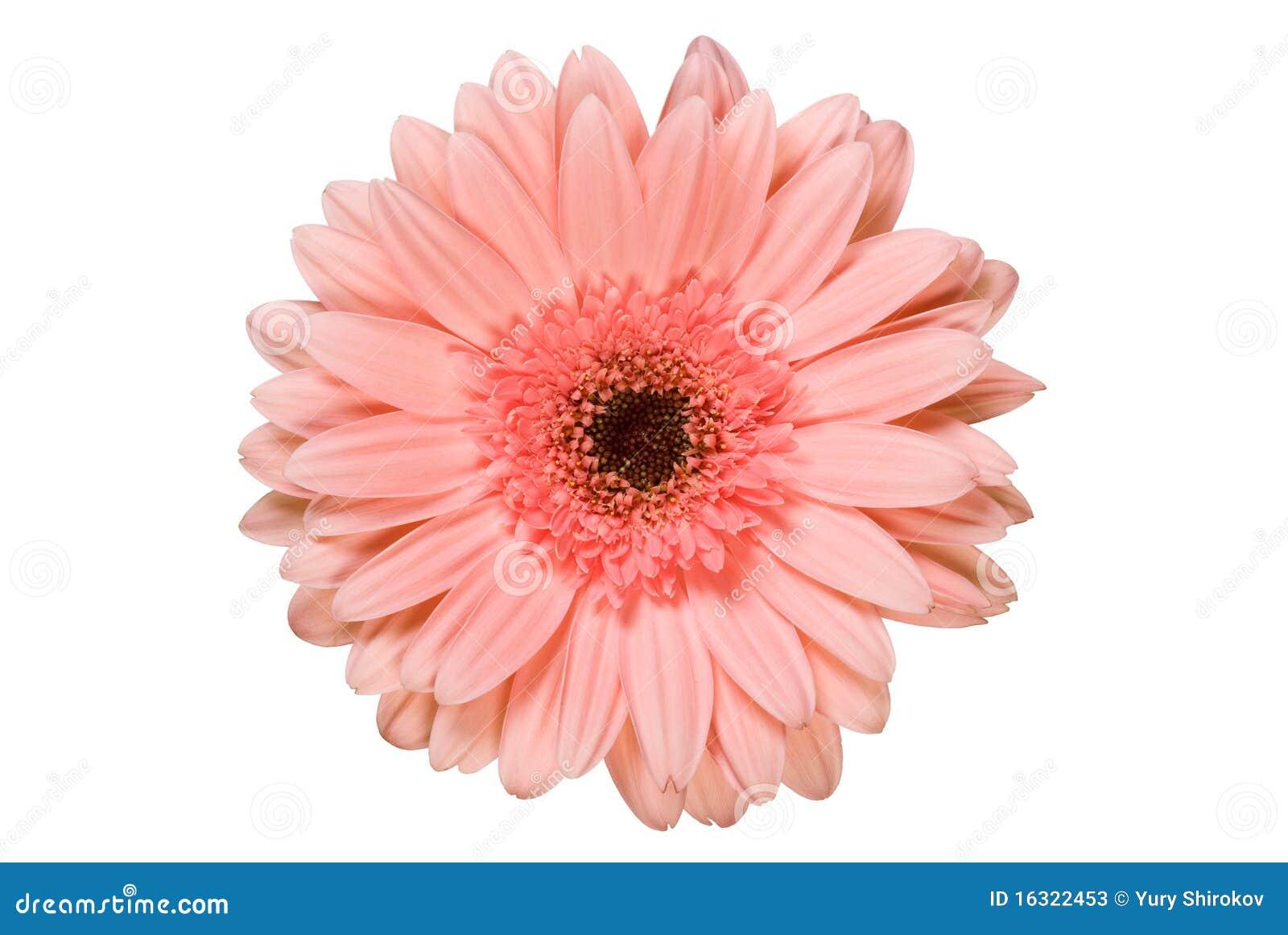 pink gerbera flower stock image image of floral gerbera. Black Bedroom Furniture Sets. Home Design Ideas