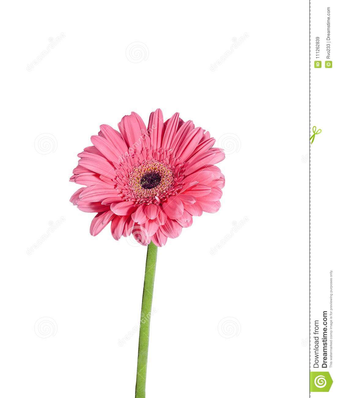 Pink Gerbera Flower Close Up Isolated On A White Background Stock