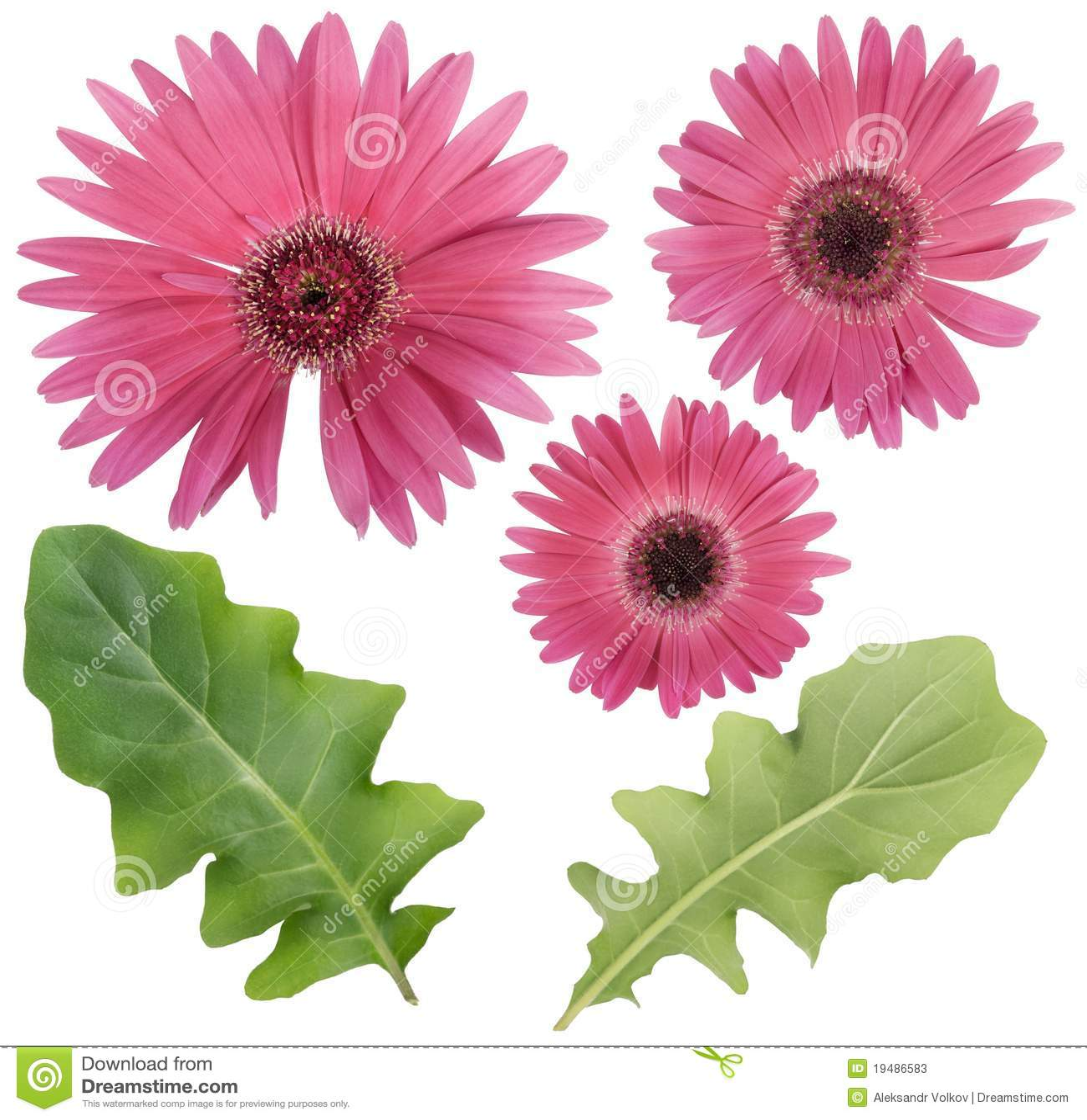 Pink Gerbera Flower And Leaves Set Stock Image Image Of Gerbera