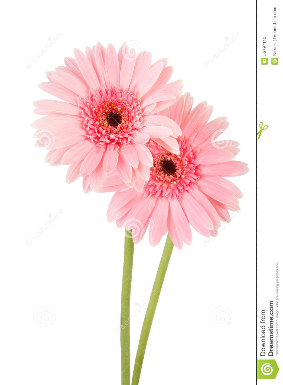Pink gerbera flower white background stock photo image of plant pink gerbera flower white background mightylinksfo