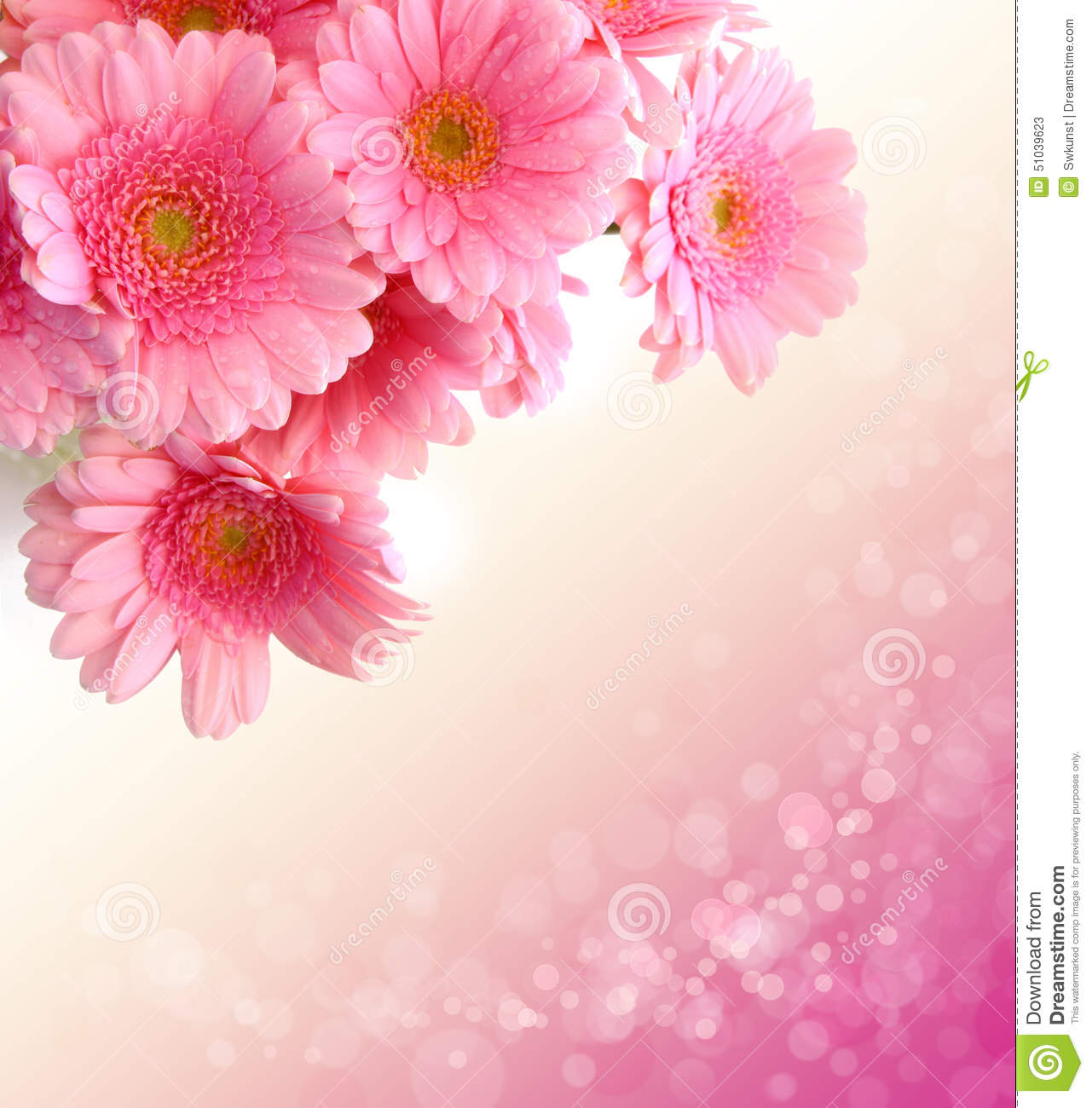 Pink Gerbera Flowers Isolated Stock Image Image Of Colorful