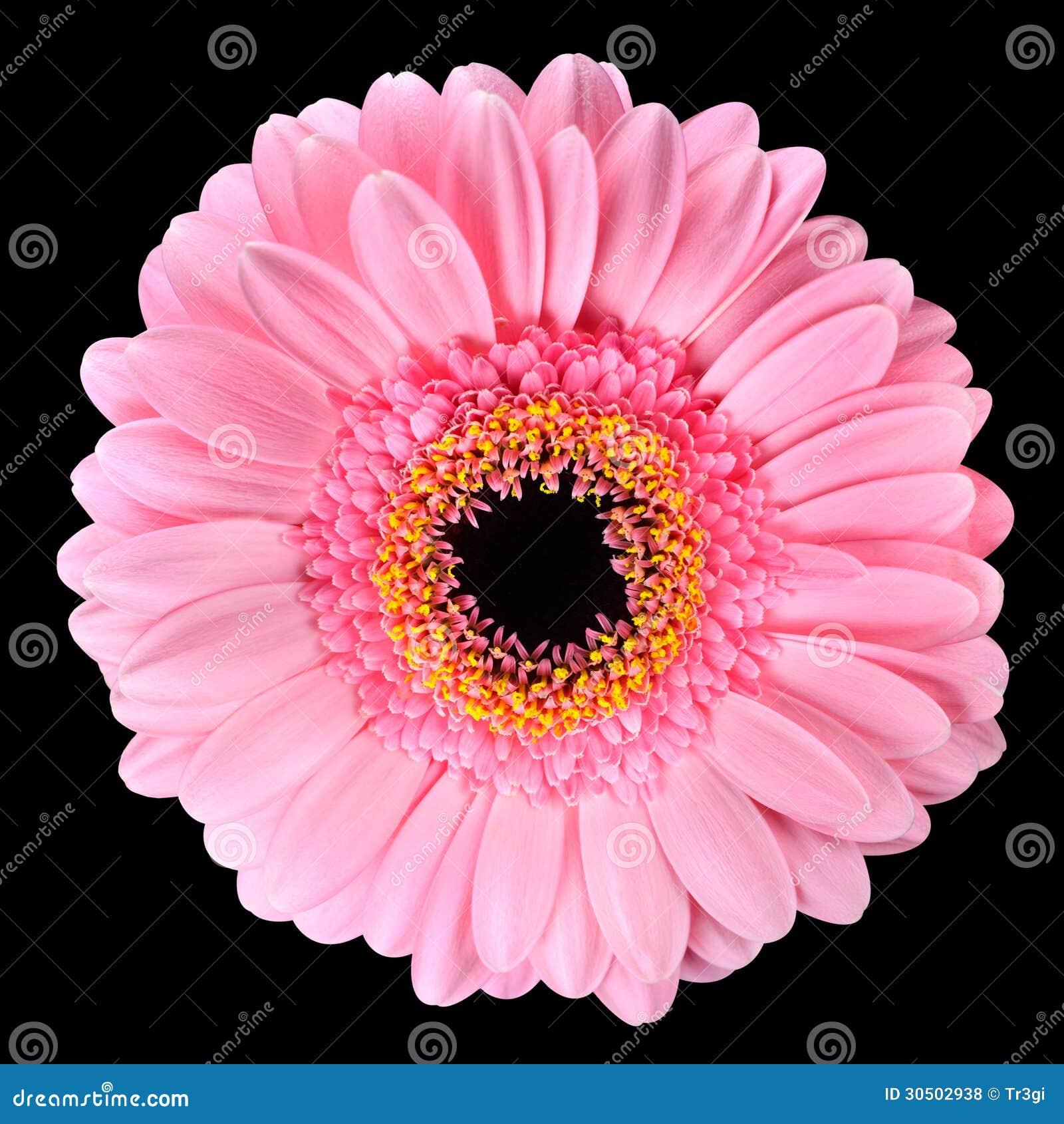 Pink Gerbera Marigold Flower Isolated On Black Stock Photo Image